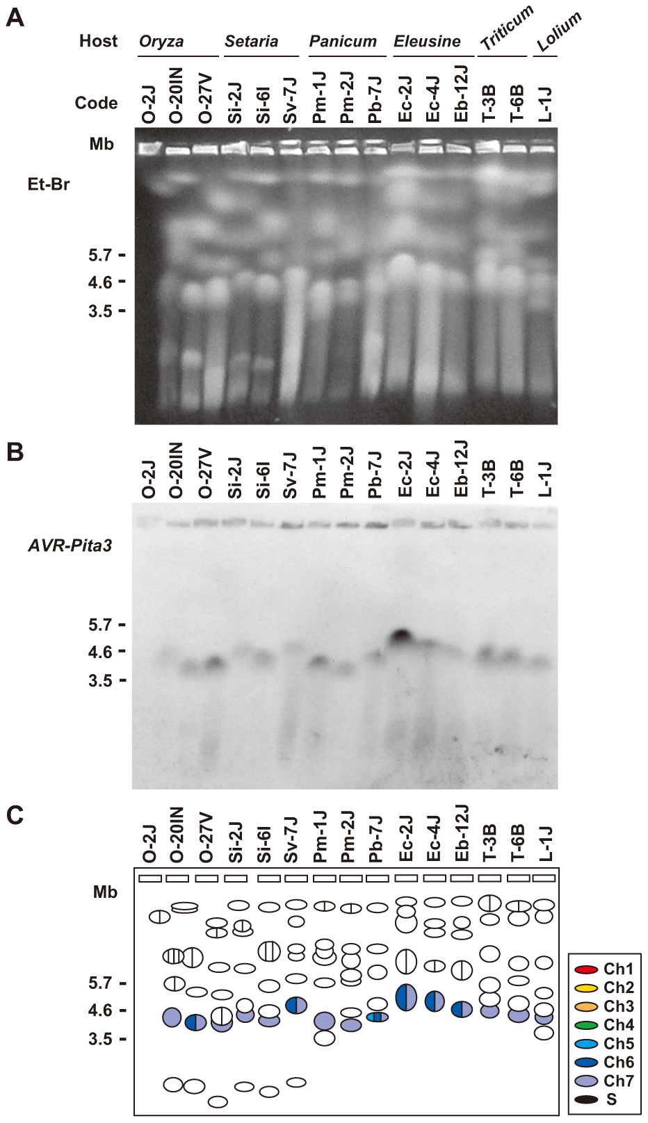 CHEF-Southern analyses of chromosomal locations of <i>AVR-Pita3</i> in representative isolates of <i>P. oryzae</i>.