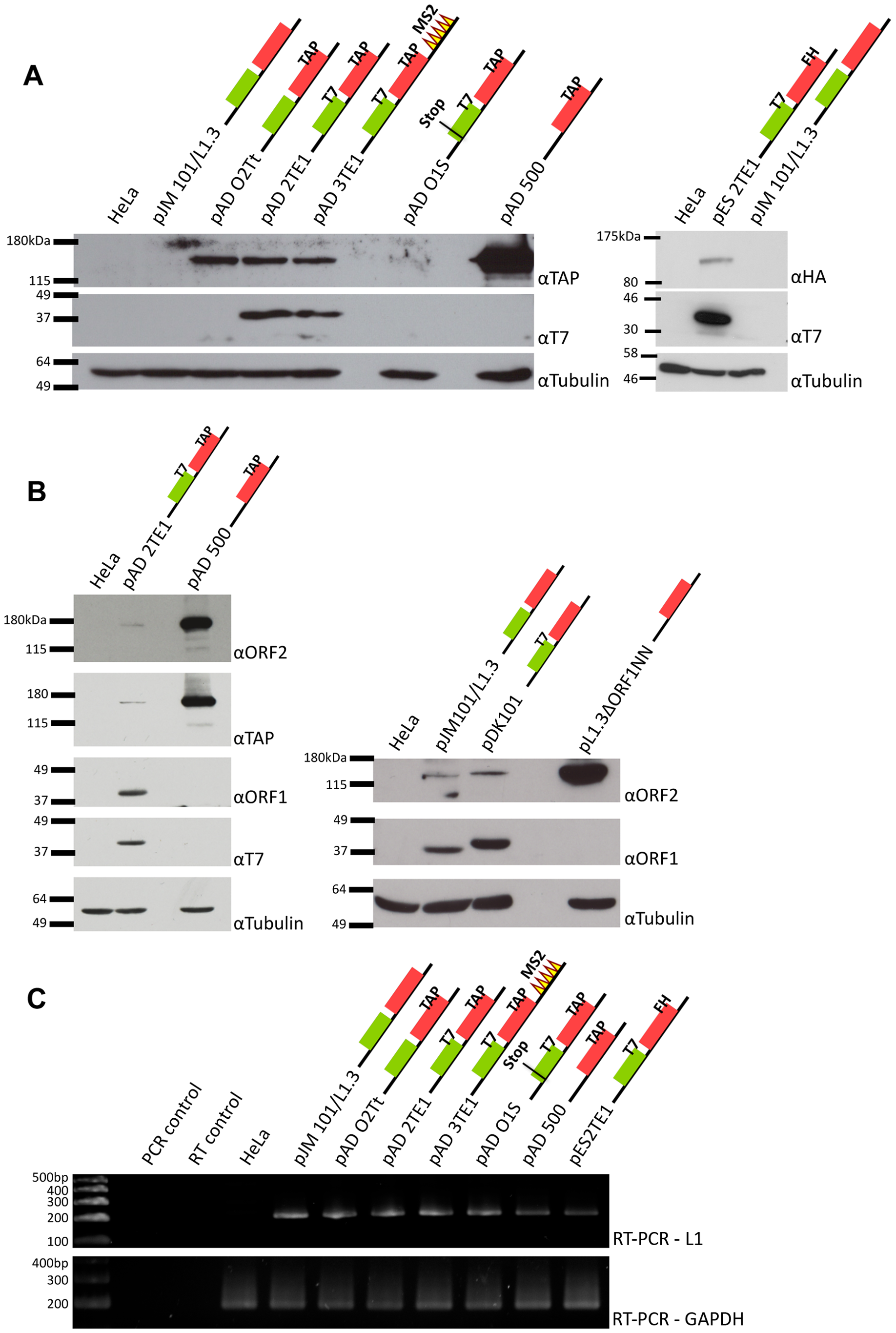 Detection of ORF1p and ORF2p from engineered L1 constructs.