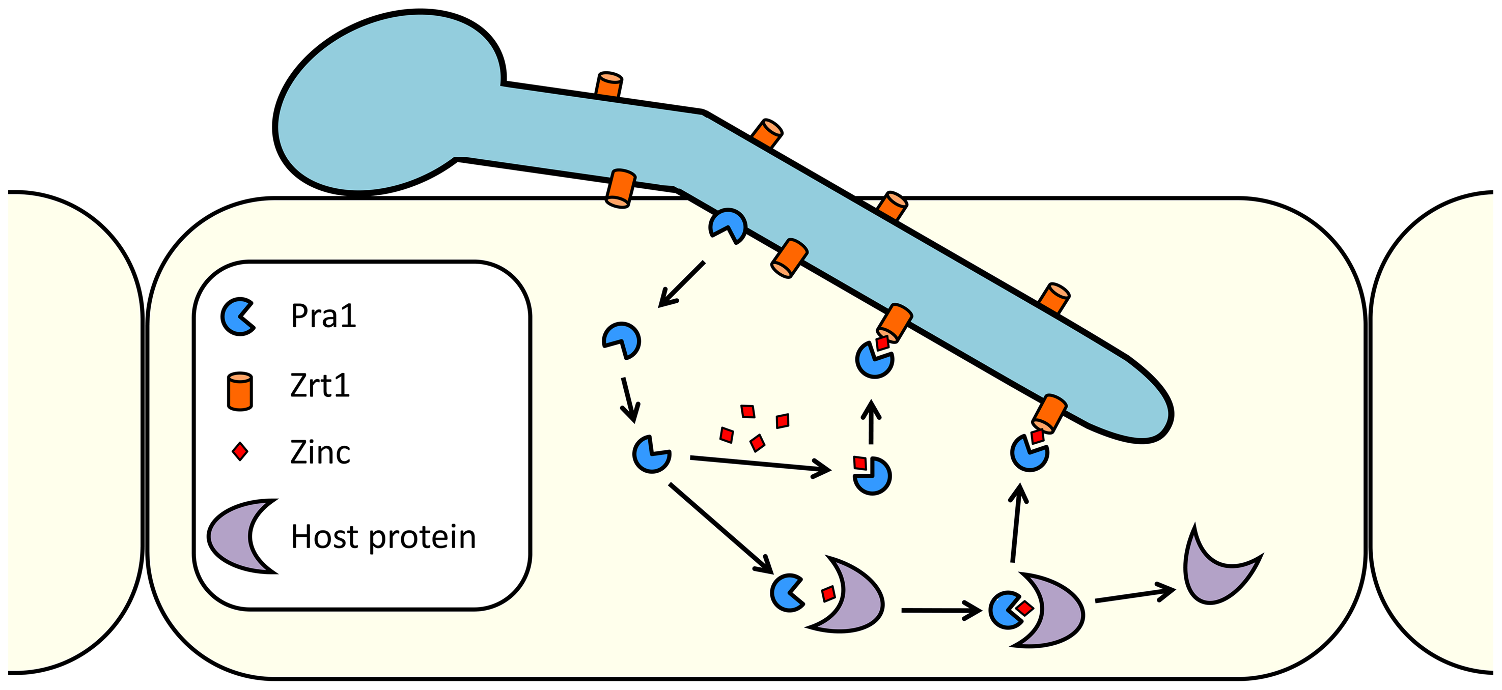 Model of <i>C. albicans</i> zinc scavenging from host cells.