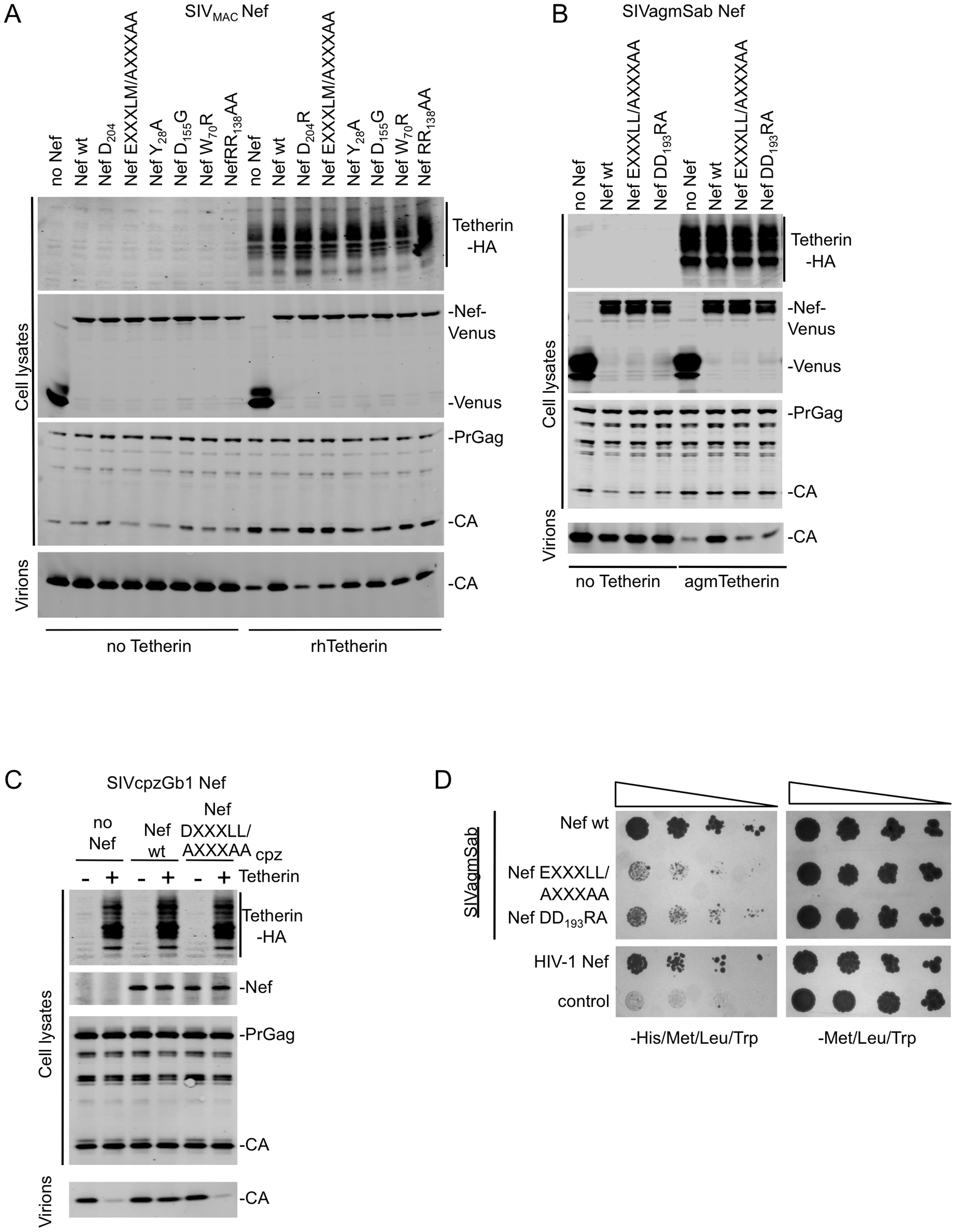 Mutation of Nef residues required for AP-2 binding abolish Tetherin antagonism.