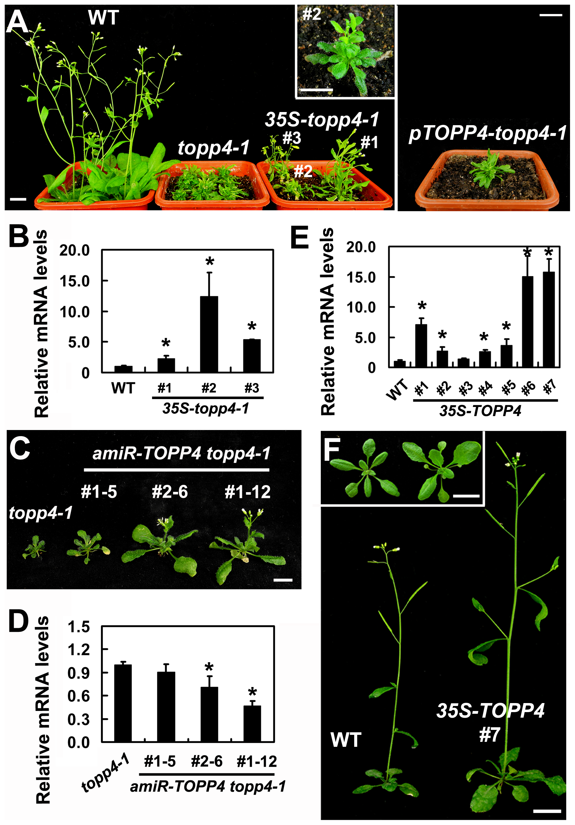 Expression of <i>35S-topp4-1</i>, <i>pTOPP4-topp4-1</i>, or <i>35S-TOPP4</i> in wild-type plants.