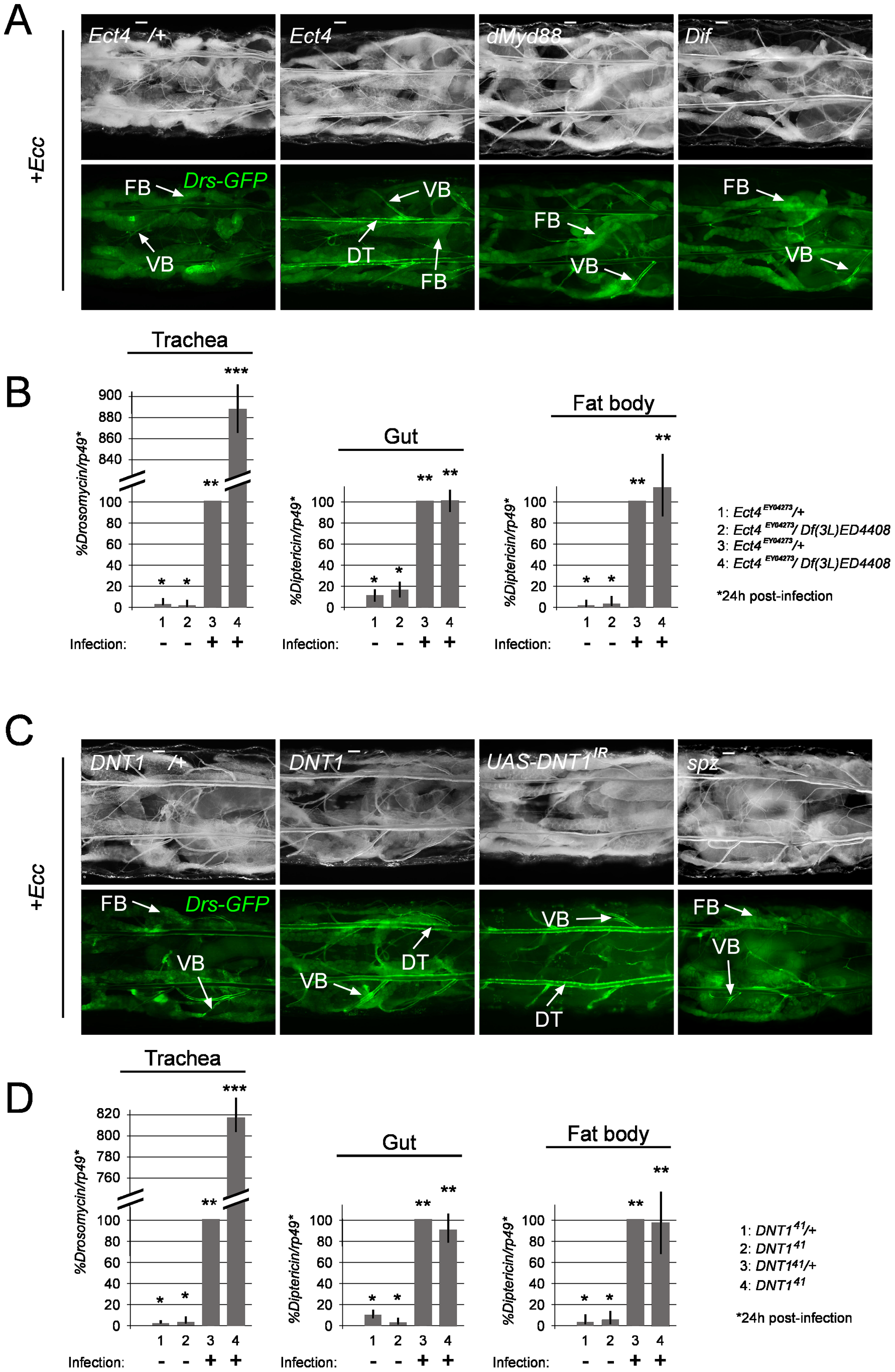 The TIR domain-containing protein Ect4/SARM and the cytokine DNT1/Spz2 negatively regulate tracheal immune response.