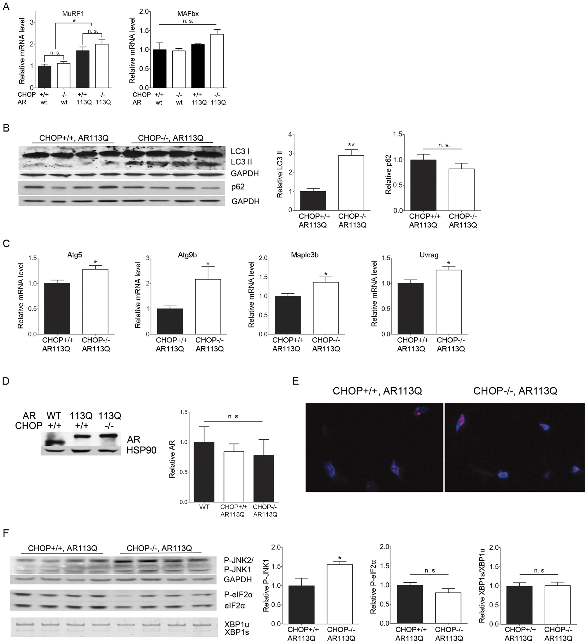 Autophagy is increased in AR113Q, CHOP −/− muscle.