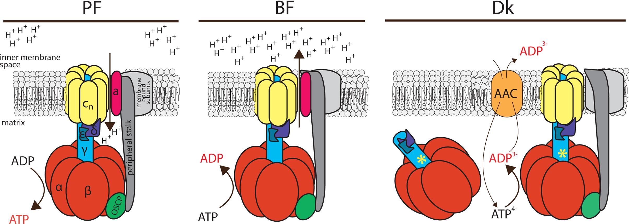 Schematic representation of the F<sub>o</sub>F<sub>1</sub>-ATP synthase/ATPase complex in trypanosome mitochondria.