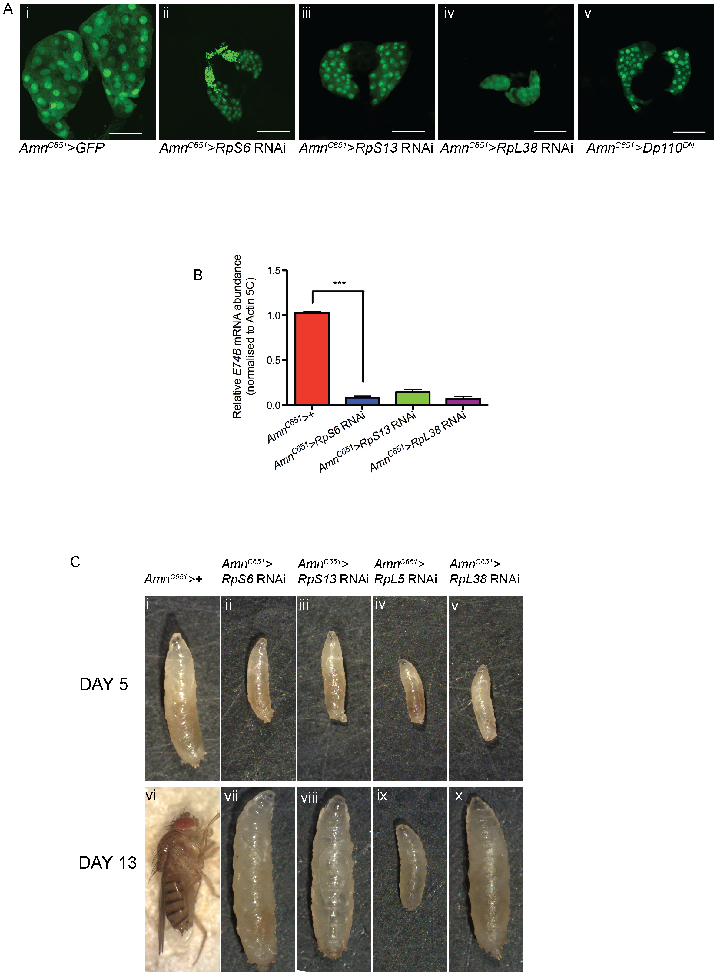 Reducing <i>Rps</i> by RNAi in the PG results in developmental delay and small prothoracic glands.