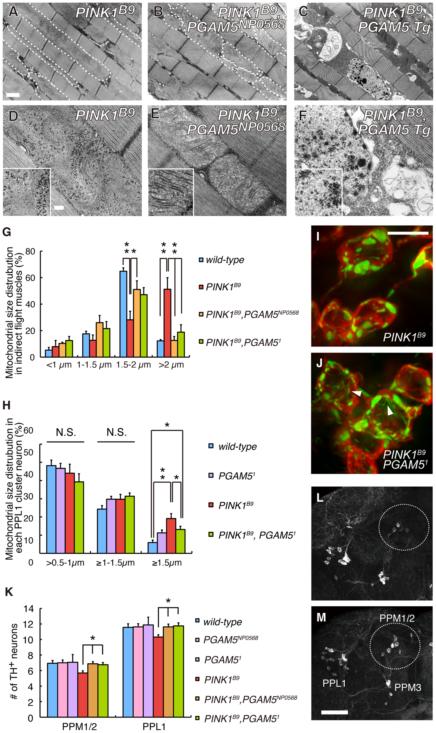 Loss of <i>dPGAM5</i> improves degeneration of the mitochondria and DA neurons caused by <i>dPINK1</i> inactivation in <i>Drosophila</i>.