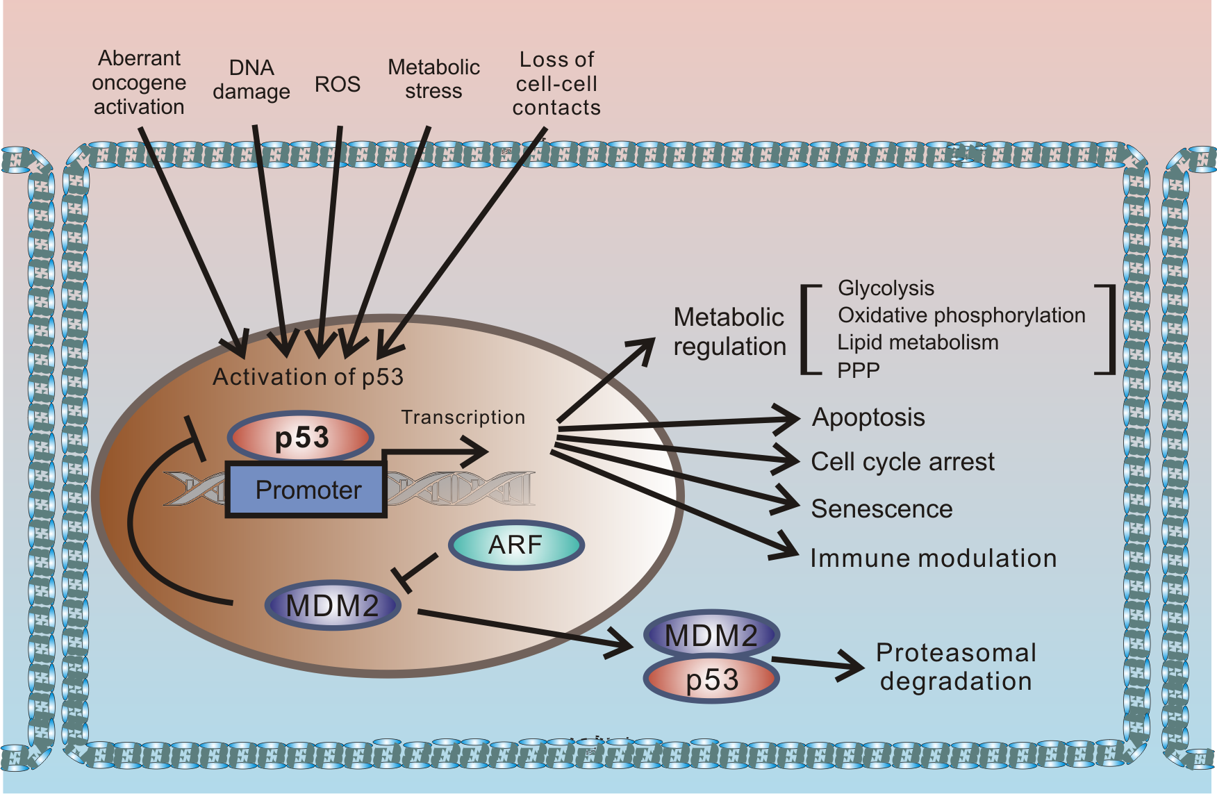 Outline of the regulation of cellular stresses by p53.