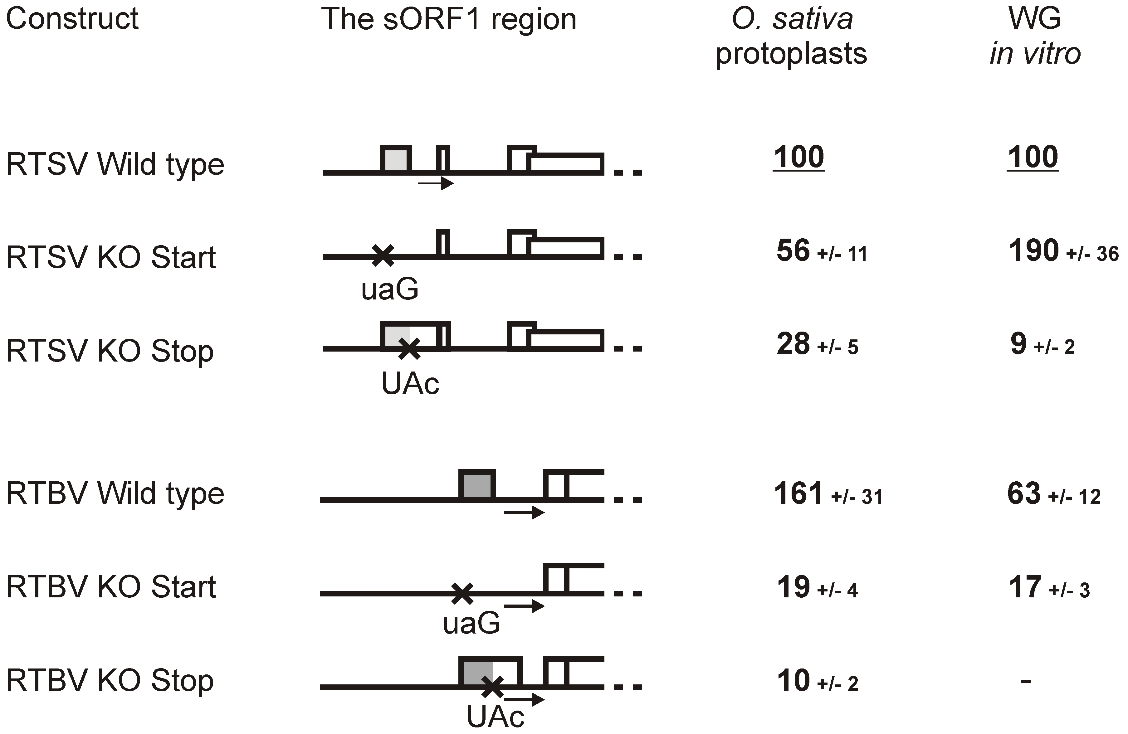 Translation downstream of the RTSV and RTBV leaders is regulated by the first sORF.