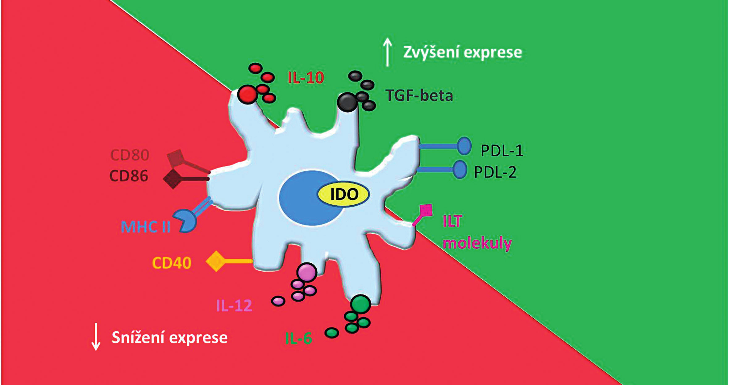 Základní charakteristika tolerogenních dendritických buněk. Tolerogenní dendritické buňky mají nižší schopnost aktivovat efektorové T-lymfocyty díky snížené expresi <i>kostimulačních</i> molekul (CD80, CD86, CD40) a MHC molekul. Naopak díky zvýšené expresi imunoregulačních molekul PDL-1,2 a ILT- molekul mají schopnost navodit <i>anergii</i> či <i>klonální deleci</i> T-lymfocytů. tDC mají dále příznivý protizánětlivý cytokinový profil, charakterizovaný nízkou nebo žádnou produkcí IL-12 a IL-6 a zvýšenou produkcí IL-10 a TGF-β. Dále exprimují imunoregulační enzym IDO, který dále přispívá k jejich tolerogennímu potenciálu. CD – cluster of differentiation (diferenciační skupina); MHC – major histocompatibility complex (hlavní histokompatibilní komplex); PDL – programmed death-ligand (ligand programované buněčné smrti); ILT – Immunoglobulin-like transcript (transkript podobný imunoglobulinům); tDC – tolerogenní dendritické buňky; IL – interleukin; TGF-β – transforming growth factor β (transformující růstový faktor beta); IDO – indolamin 2,3–dioxygenáza  Fig. 1. Basic characteristic of tolerogenic dendritic cells. tDC have a limited ability to prime T cells and induce their anergy or clonal deletion because of down-regulation of co-stimulatory molecules (CD80, CD86, CD40) and MHC molecules and up-regulation of immunoregulatory molecules (PDL-1,2 and ILT molecules). tDC display appropriate anti-inflammatory cytokine profile, which is defined by a low or none production of IL-12 and IL-6 and high production of IL-10 and TGF-β. Moreover, expression of immunomodulatory enzyme IDO contributes to their tolerogenic potential. CD – cluster of differentiation; MHC – major histocompatibility complex; PDL – programmed death-ligand; ILT – immunoglobulin- like transcript; tDC – tolerogenic dendritic cells; IL – interleukin; TGF-β – transforming growth factor β; IDO – indoleamine 2,3-dioxygenase