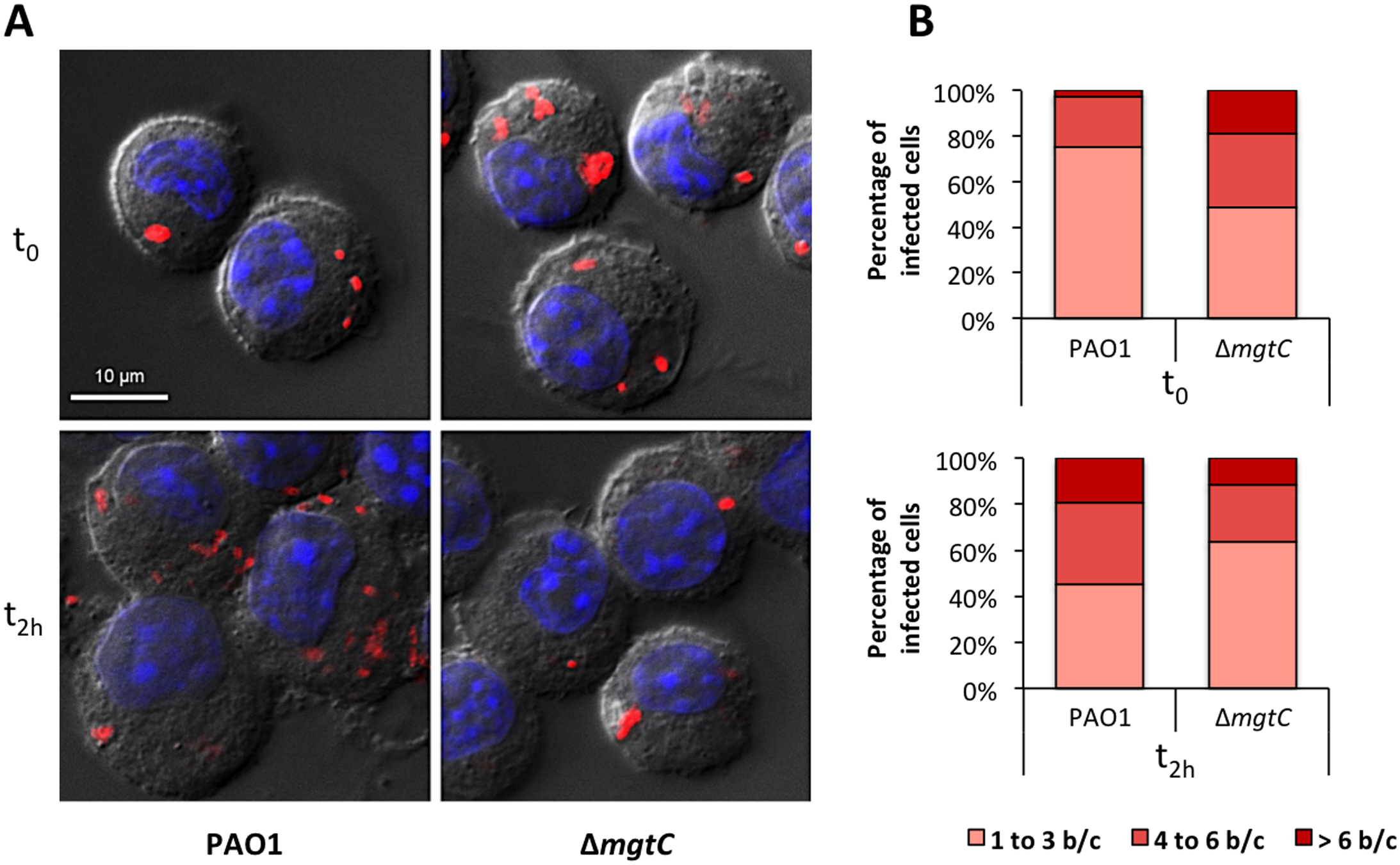 Visualisation and quantification of intracellular bacteria in fixed macrophages.