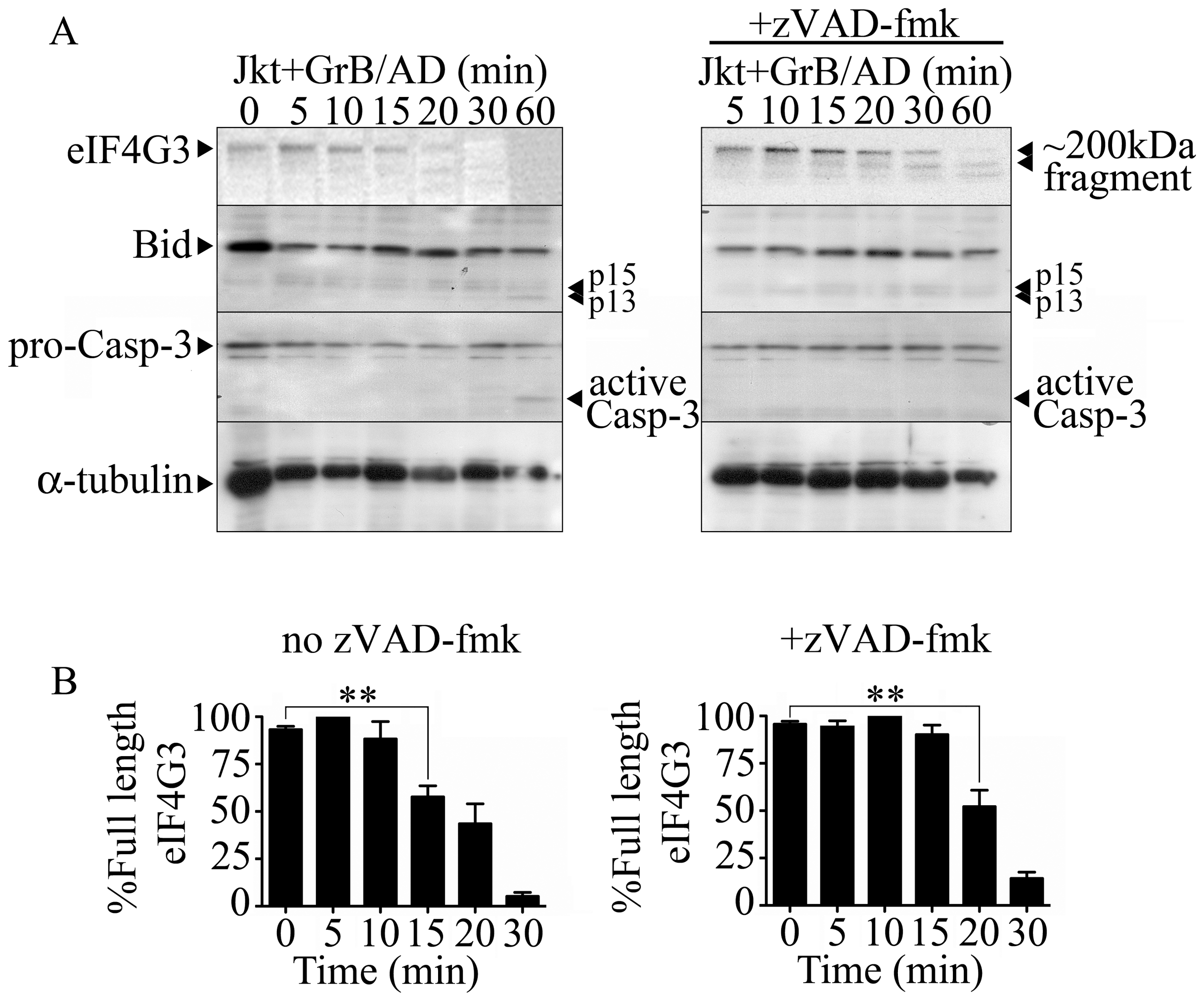The eukaryotic translation initiation factor eIF4G3 is degraded by GrB (1 µg/ml) in Jurkat (Jkt) cells.