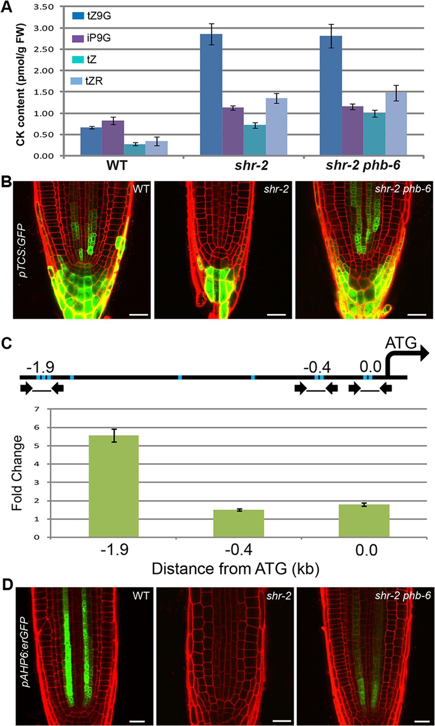 The SHR-PHB pathway and cytokinin signaling.