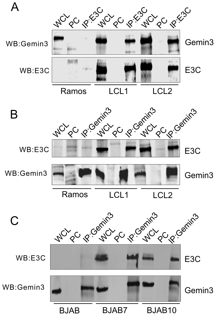 EBNA3C forms a complex with Gemin3 in EBV transformed cells.