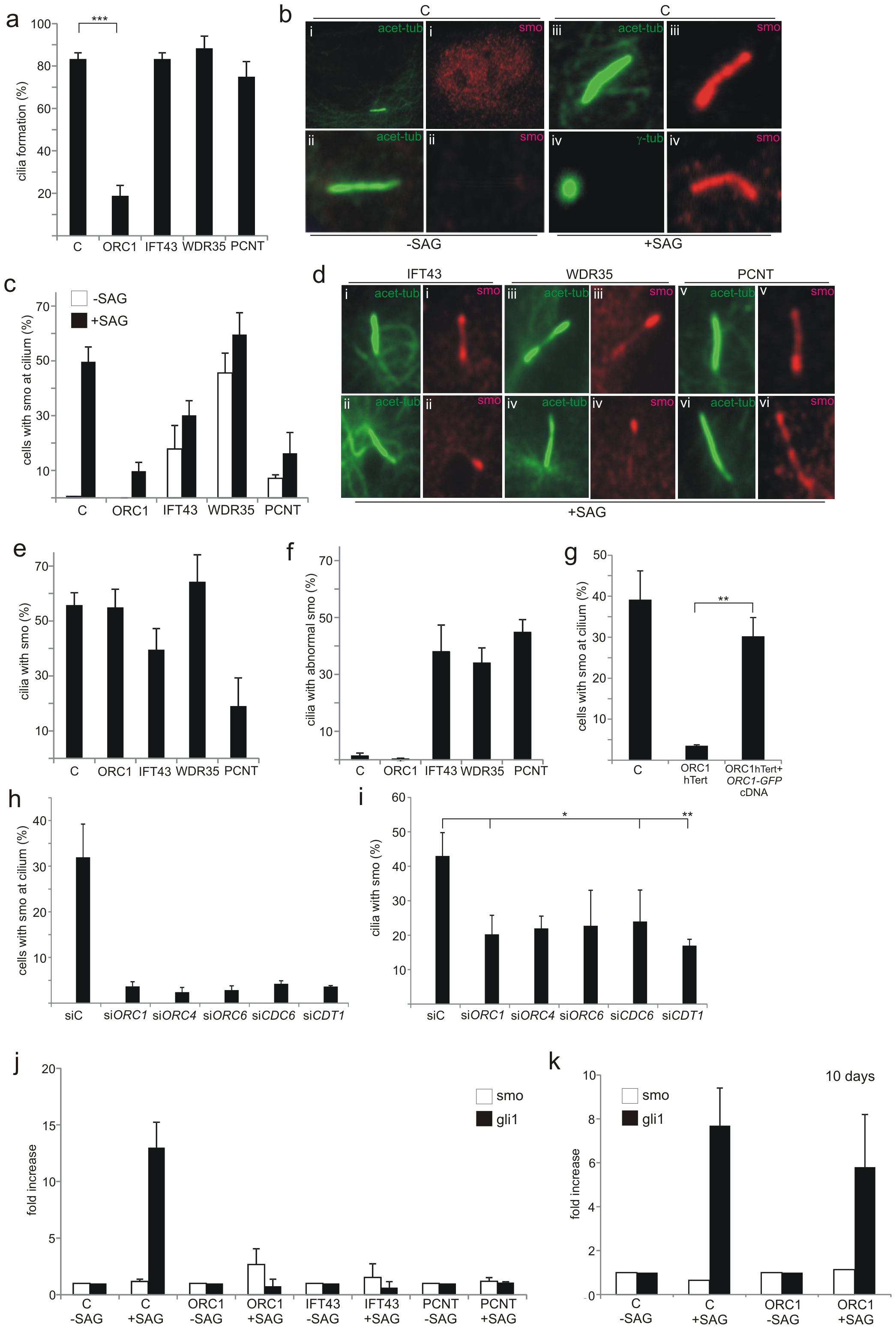 Recruitment of Smo to cilia is deficient in ORC1-deficient fibroblasts.