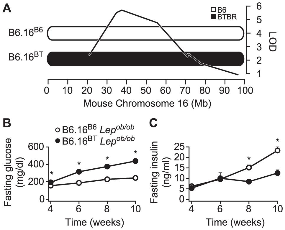 Chromosome 16 of BTBR mice contains diabetogenic alleles.