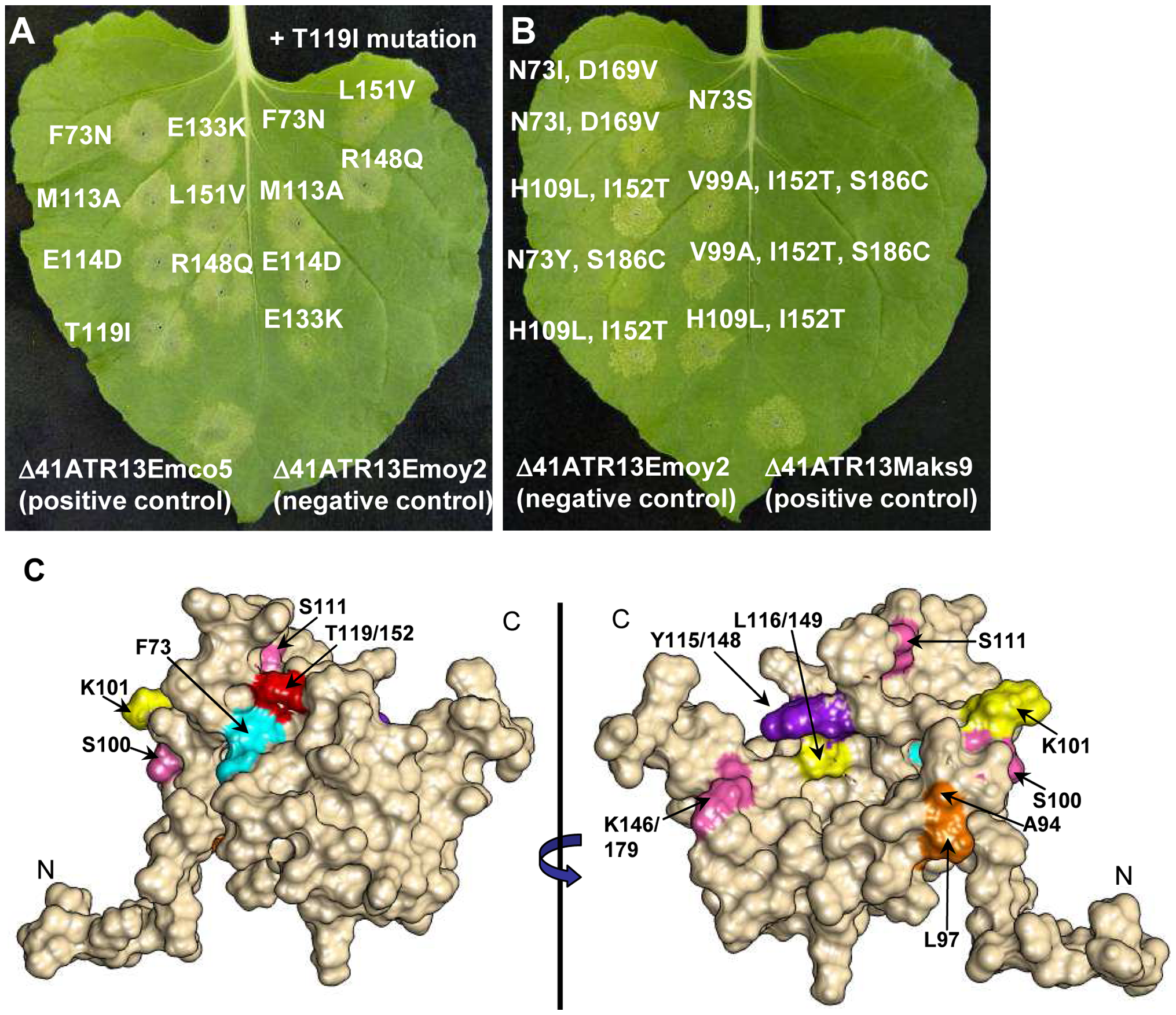 Site-directed loss-of-recognition (LOR) and random gain-of-recognition (GOR) mutagenesis of ATR13 scored for HR in RPP13 transgenic N. benthamiana plants.
