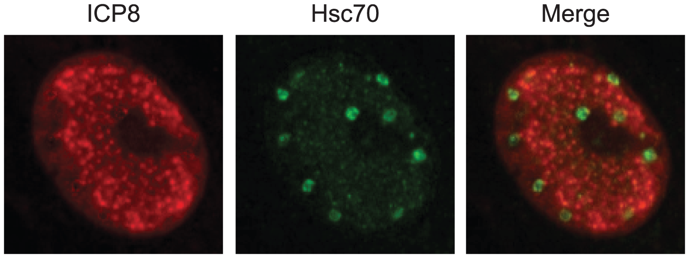 Hsc70 is detected in virus-induced chaperone-enriched (VICE) domains that form adjacent to replication compartments in HSV-1-infected cells.