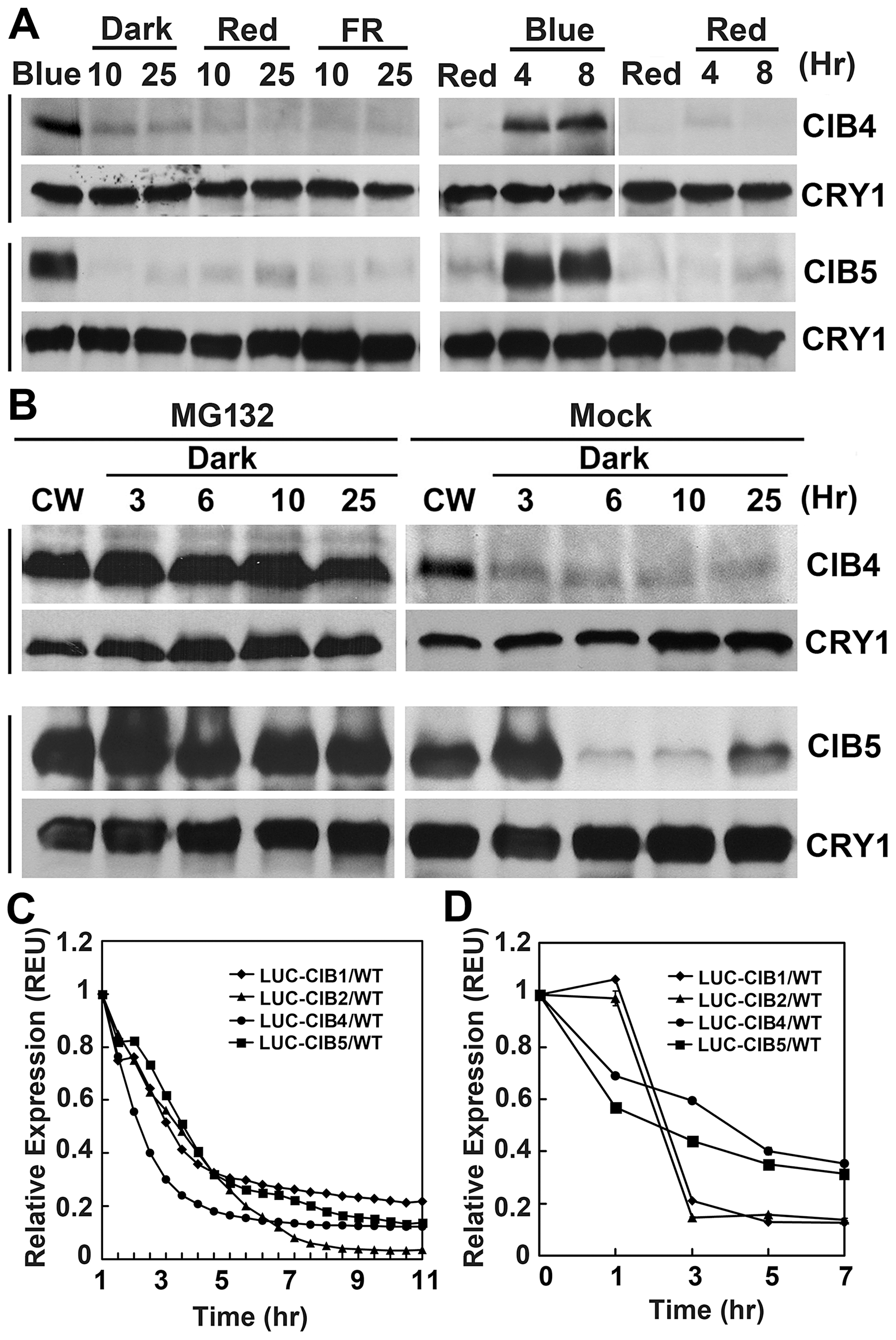 Immunoblots and luciferase assays showing light regulation of CIBs protein expression.