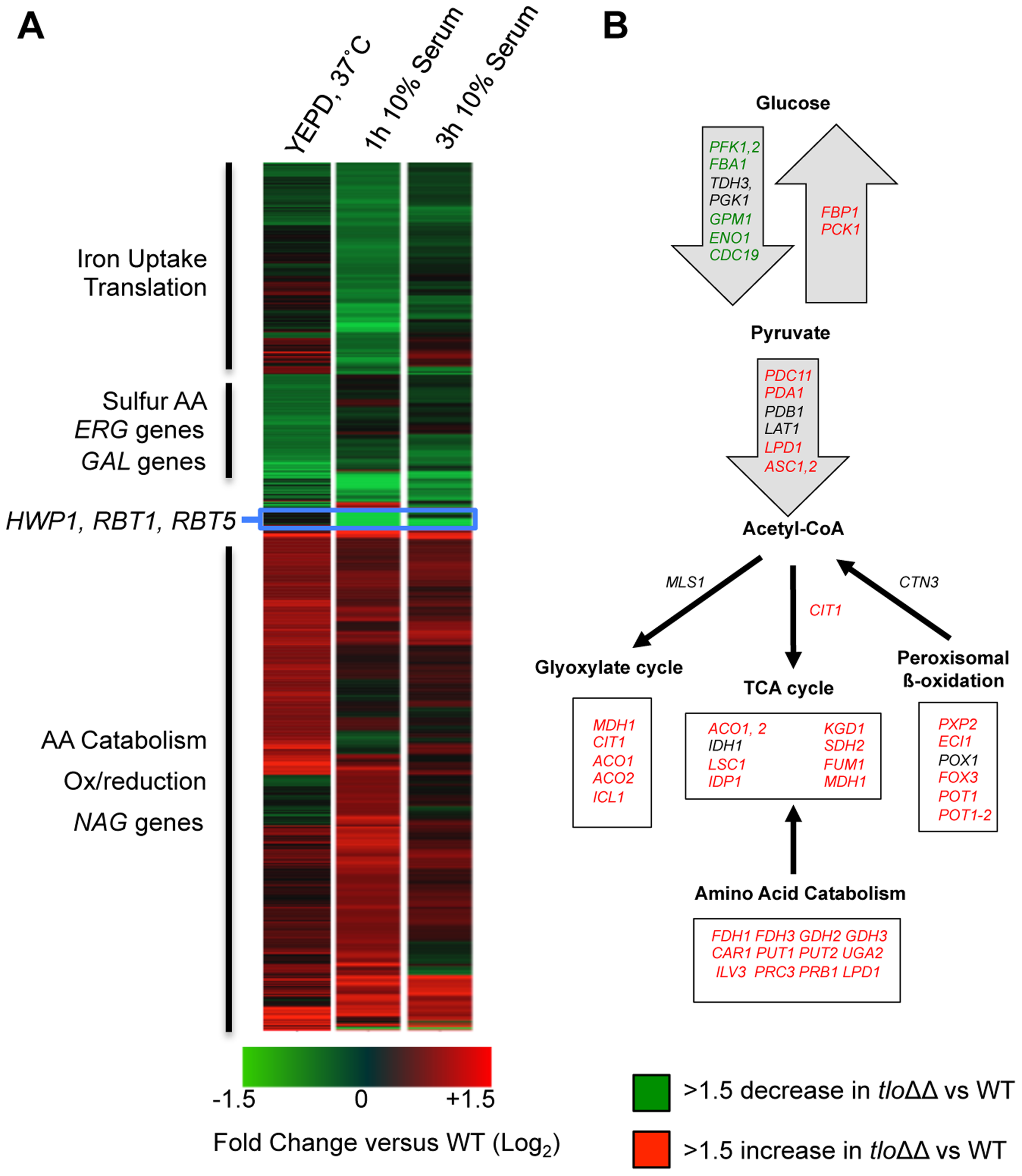 Microarray gene expression profiling of the <i>tlo1</i>Δ/<i>tlo2</i>Δ (<i>tlo</i>ΔΔ) mutant in YEPD and 10% serum.