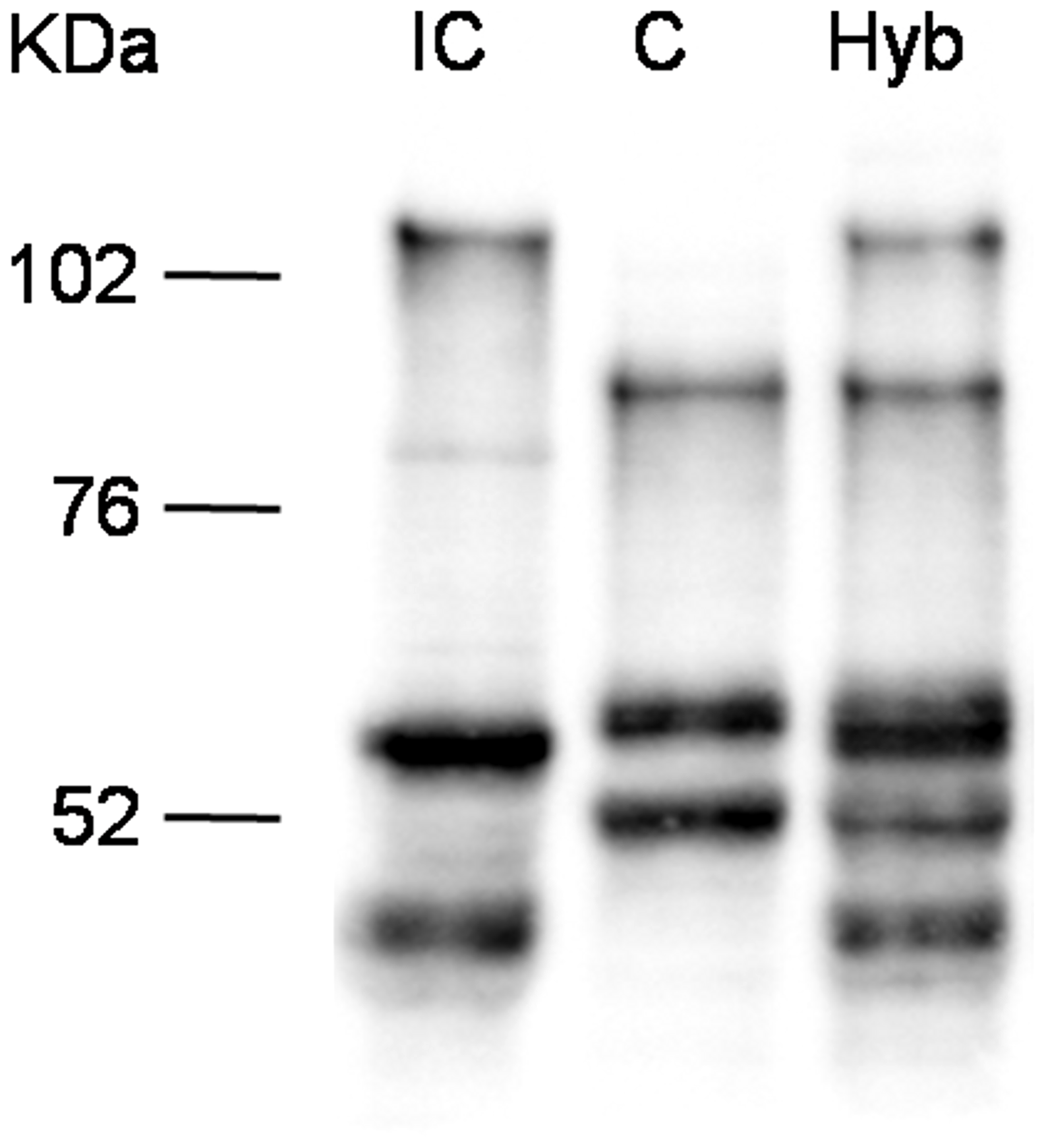 Western blots analysis on <i>Sm</i>PoMuc proteins from C/IC hybrids and C and IC control strains.