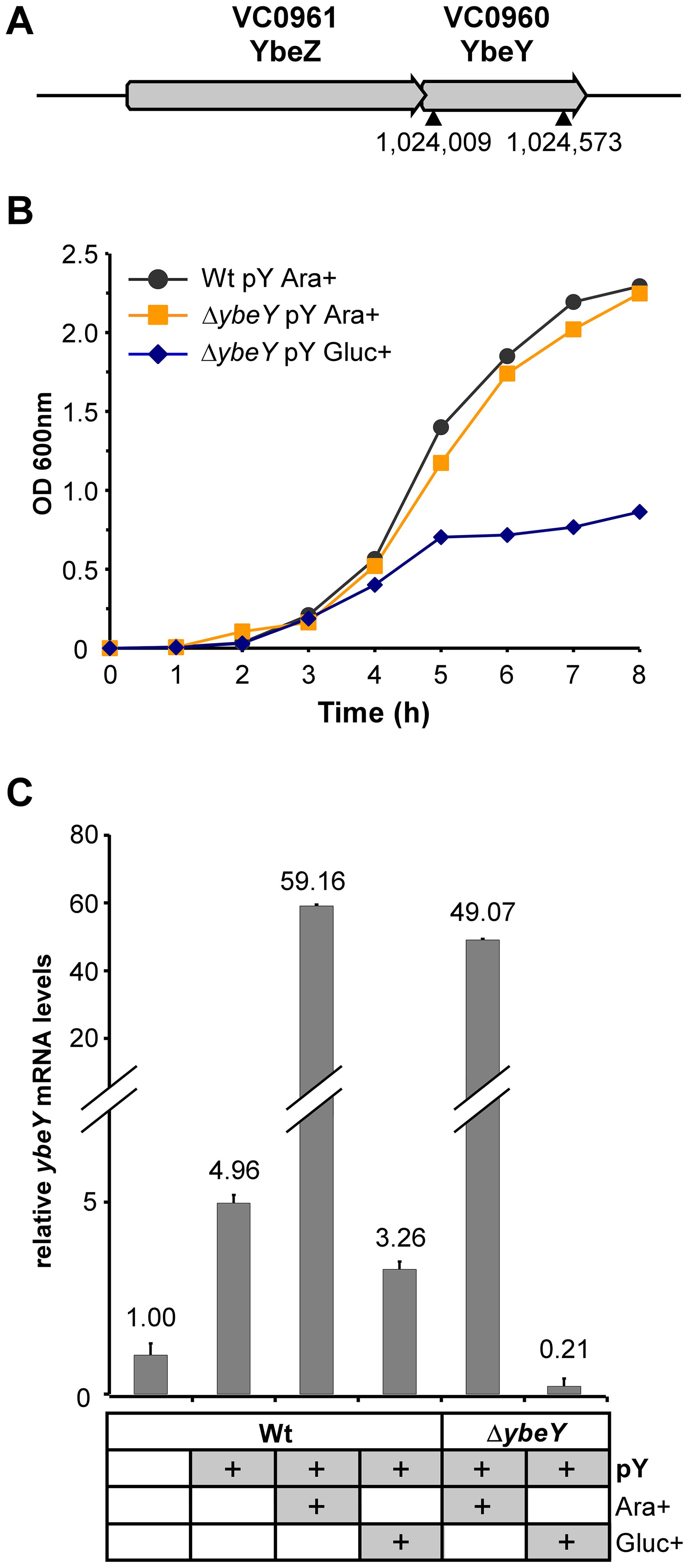 Generation of a Δ<i>ybeY</i> strain in <i>V. cholerae</i>.