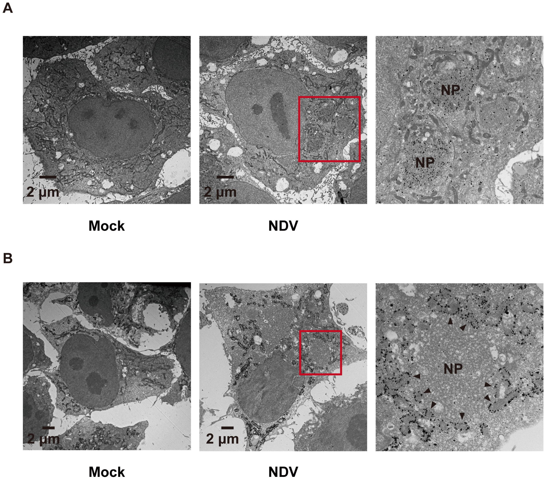 Localization of IPS-1 and mitochondria.