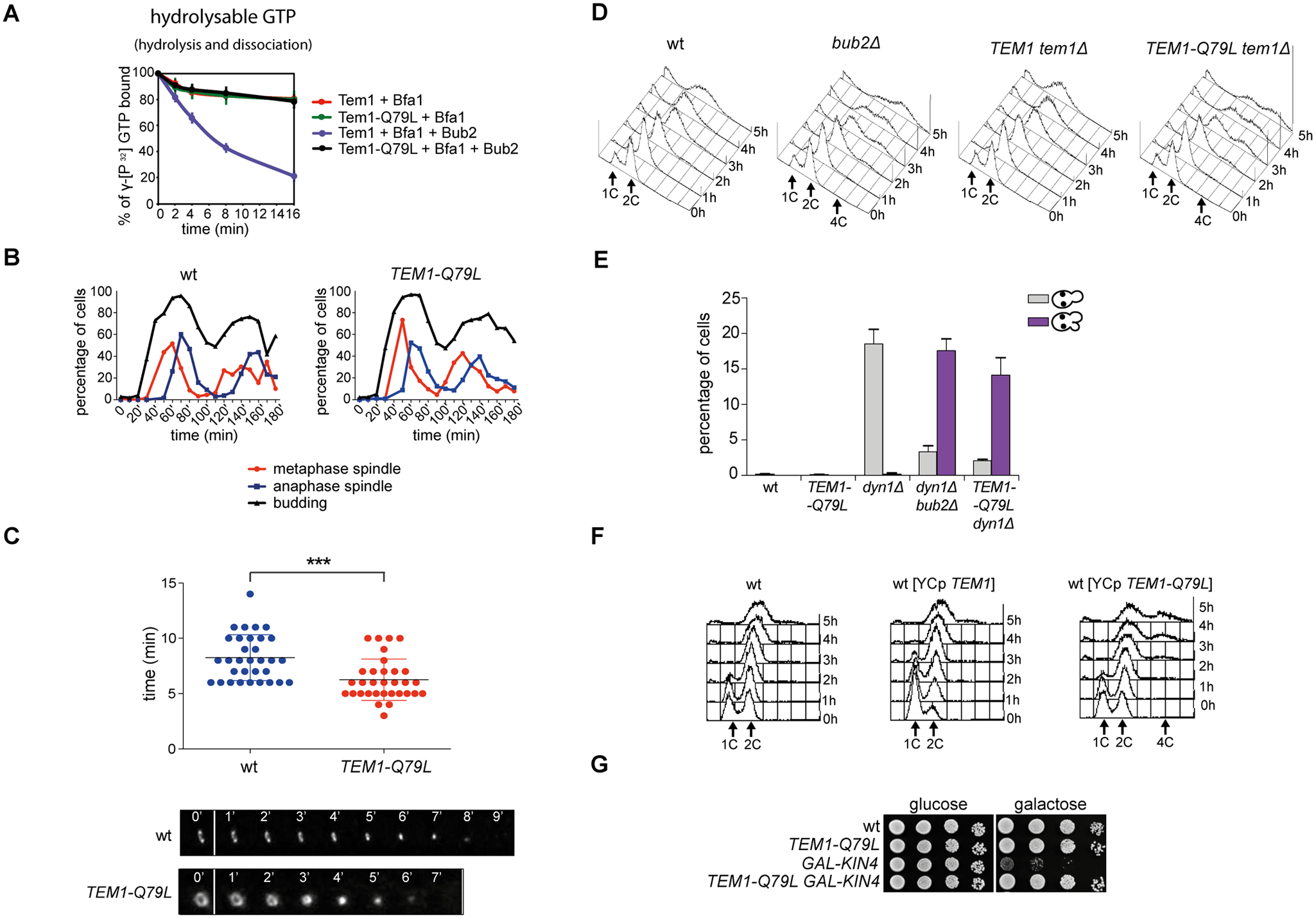 The constitutively active Tem1-Q79L variant is checkpoint-deficient.