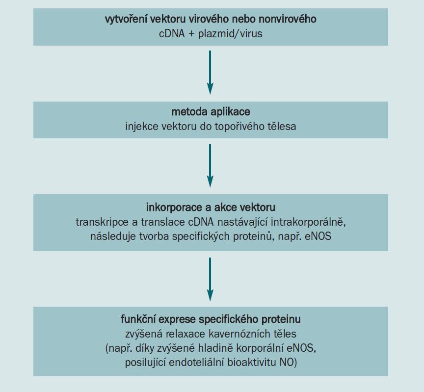 Diagram. Shrnutí použité genové terapie při léčbě ED (NO - oxid dusnatý, NOS - NO syntáza, eNOS - endoteliální NOS).