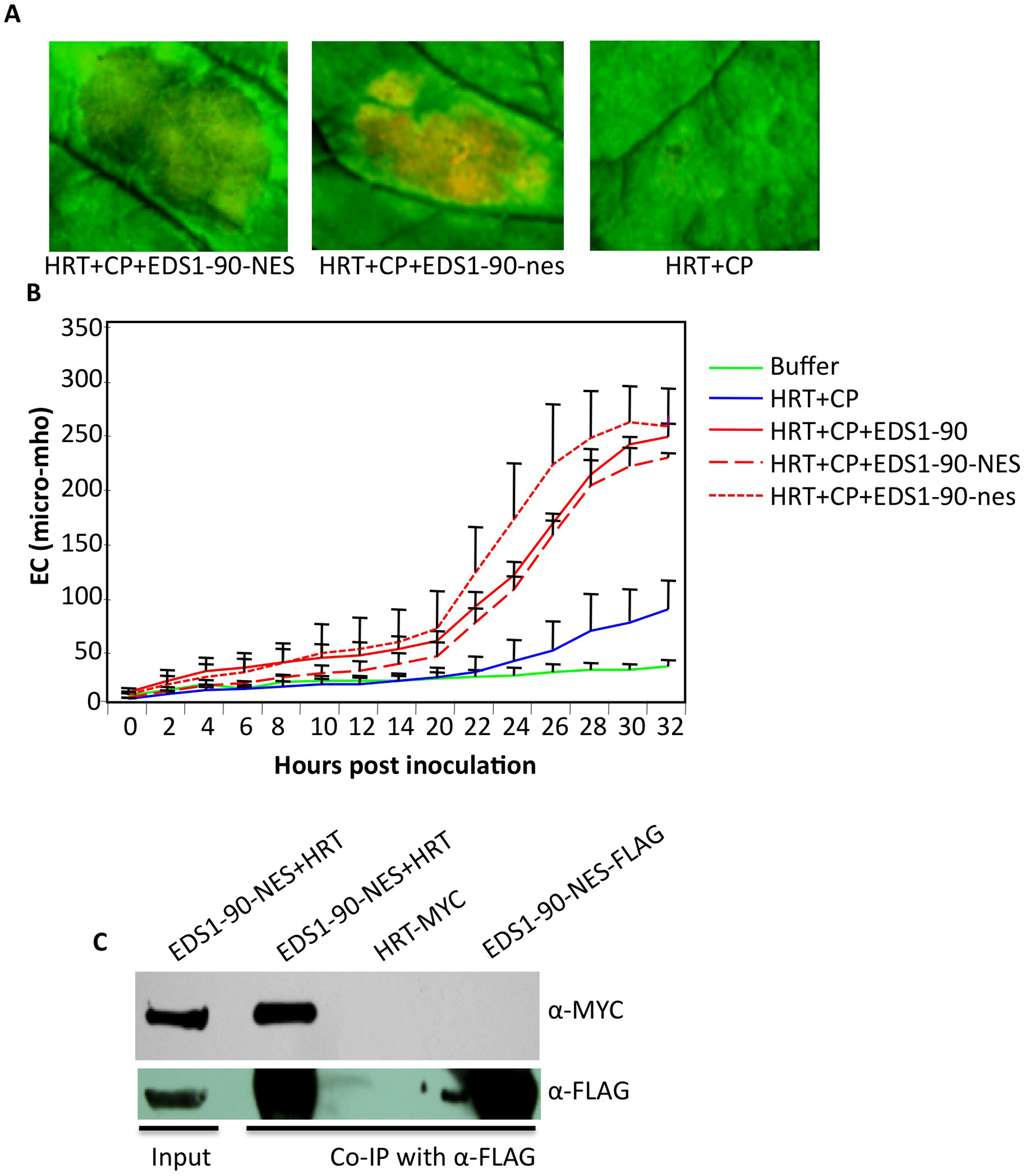 EDS1-NES interacts with HRT and promotes HRT-mediated cell death.