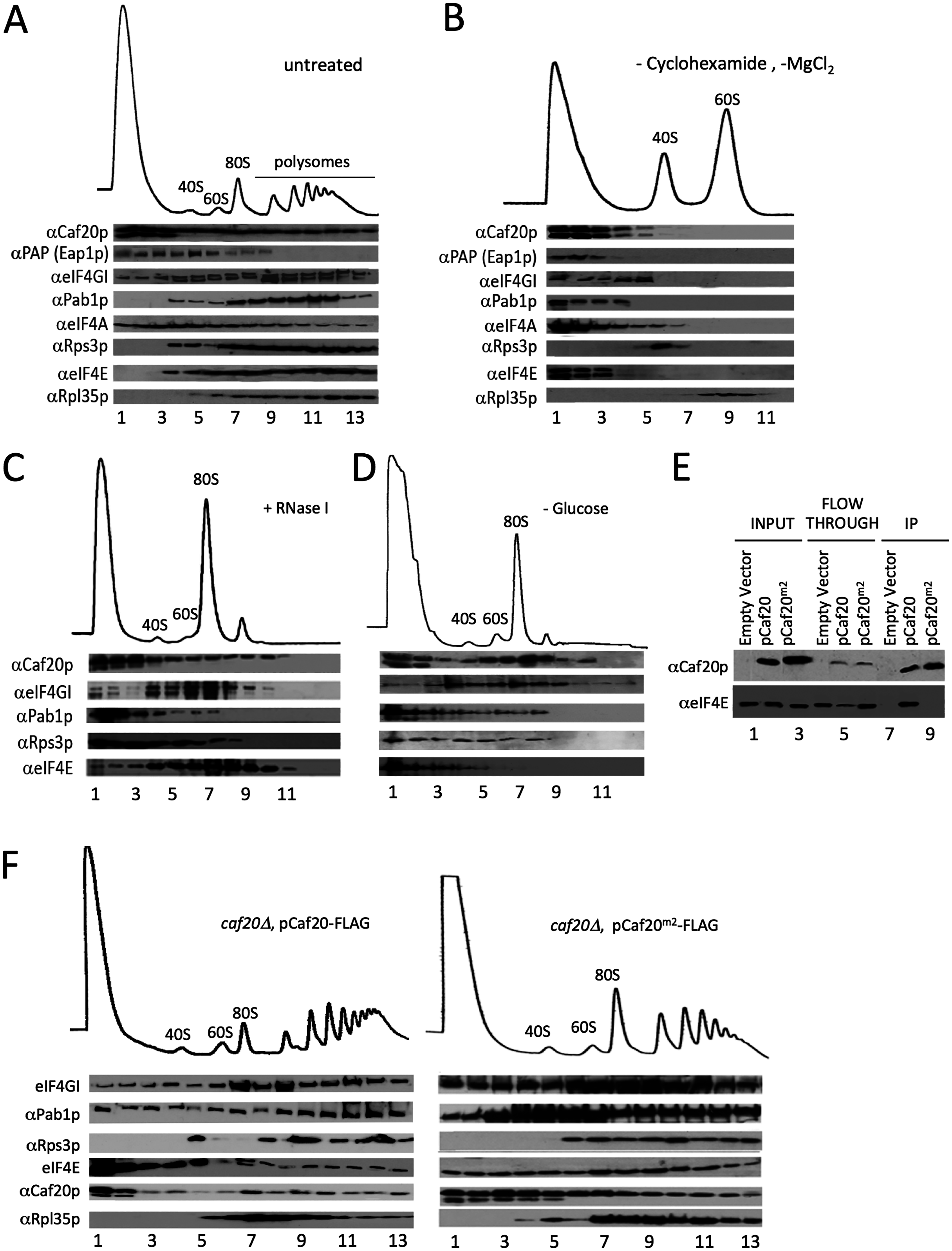 4E-BPs associate with translating ribosomes in an eIF4E-independent manner.