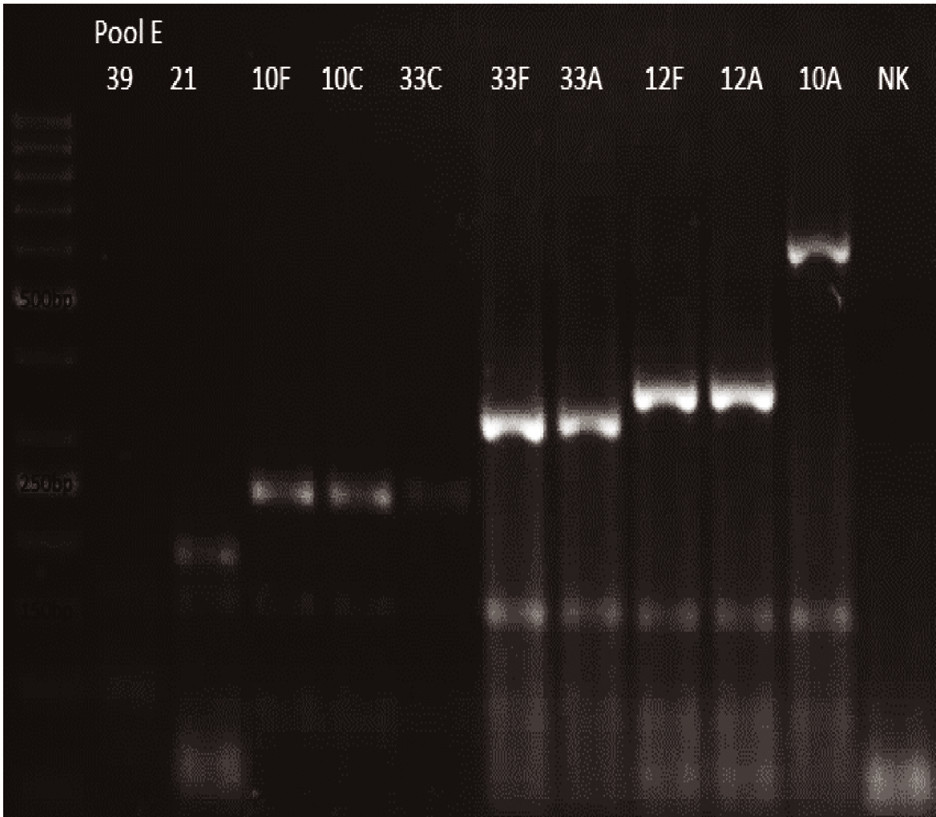 mPCR pool E Dráha 1: 50bp DNA Ladder Dráha 2: <i>S. pneumoniae</i> sérotyp 39 (99bp) Dráha 3: <i>S. pneumoniae</i> sérotyp 21 (192bp) Dráha 4: <i>S. pneumoniae</i> sérotyp 10F (248bp) Dráha 5: <i>S. pneumoniae</i> sérotyp 10C (248bp) Dráha 6: <i>S. pneumoniae</i> sérotyp 33C (248bp) Dráha 7: <i>S. pneumoniae</i> sérotyp 33F (338bp) Dráha 8: <i>S. pneumoniae</i>sérotyp 33A (338bp) Dráha 9: <i>S. pneumoniae</i> sérotyp 12F (376bp) Dráha 10: <i>S. pneumoniae</i> sérotyp 12A (376bp) Dráha 11: <i>S. pneumoniae</i> sérotyp 10A (628bp) Dráha 12: negativní kontrola Dráha 2–11: pozitivní produkt cpsA (160bp)<br> Fig. 5. mPCR pool E Lane 1: 50bp DNA Ladder Lane 2: <i>S. pneumoniae</i> serotype 39 (99bp) Lane 3: <i>S. pneumoniae</i> serotype 21 (192bp) Lane 4: <i>S. pneumoniae</i> serotype 10F (248bp) Lane 5: <i>S. pneumoniae</i> serotype 10C (248bp) Lane 6: <i>S. pneumoniae</i> serotype 33C (248bp) Lane 7: <i>S. pneumoniae</i> serotype 33F (338bp) Lane 8: <i>S. pneumoniae</i> serotype 33A (338bp) Lane 9: <i>S. pneumoniae</i> serotype 12F (376bp) Lane 10: <i>S. pneumoniae</i> serotype 12A (376bp) Lane 11: <i>S. pneumoniae</i> serotype 10A (628bp) Lane 12: negative control Lanes 2–11: positive product cpsA (160bp)