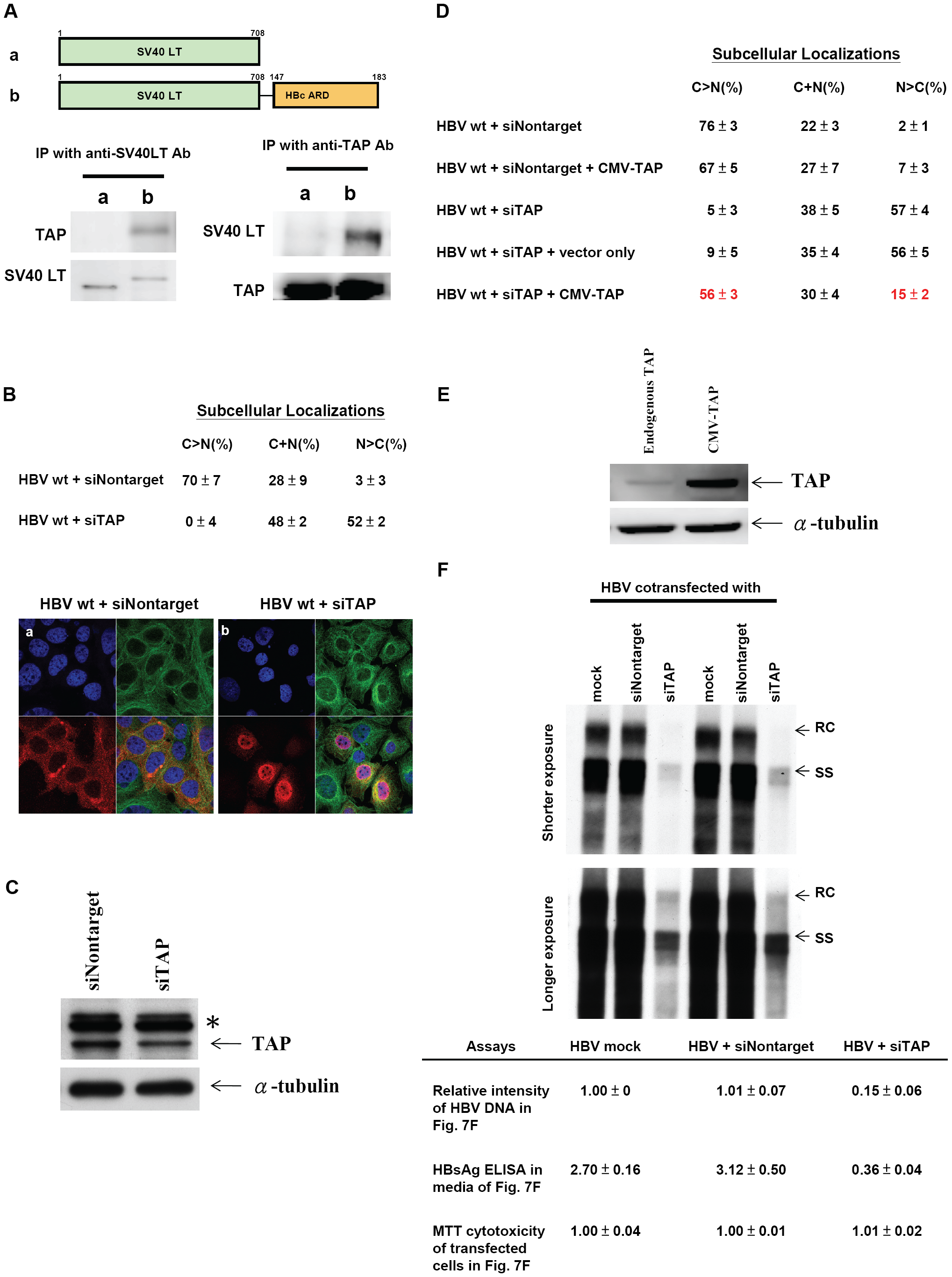 Specific physical and functional interactions between a cellular TAP protein and HBc ARD were shown by experiments of co-immunoprecipitation, si-RNA treatment, and cotransfection with a CMV-TAP expression vector.