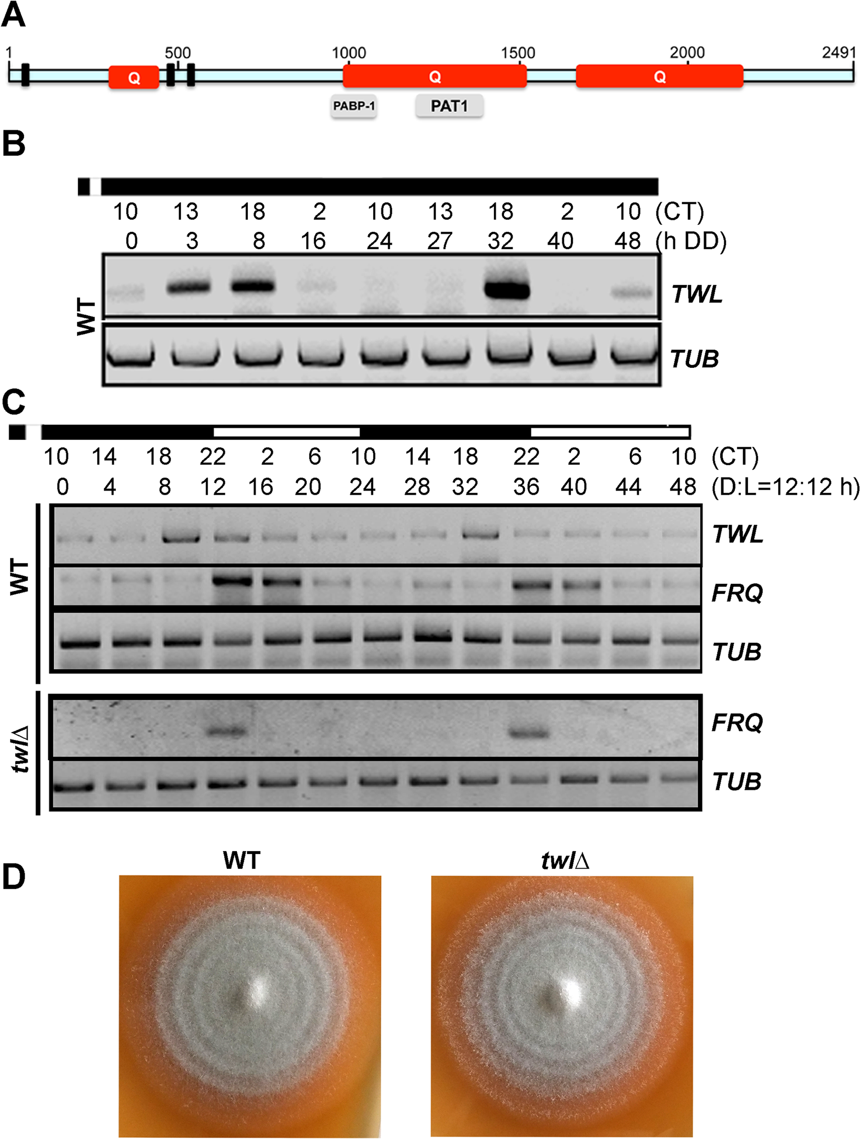 Twl is a novel circadian protein in <i>M</i>. <i>oryzae</i>.