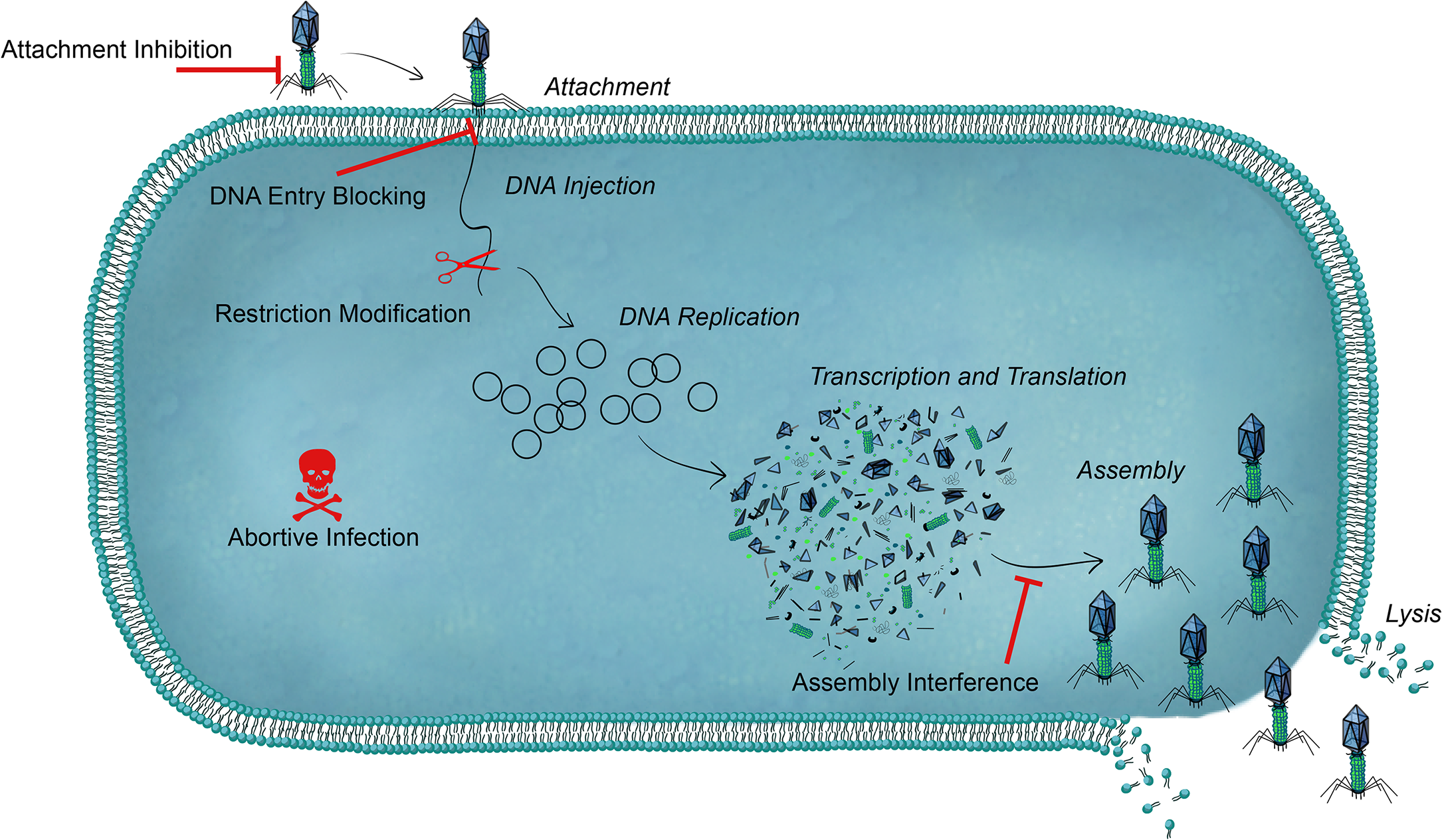 An overview of bacterial defense systems against phage.