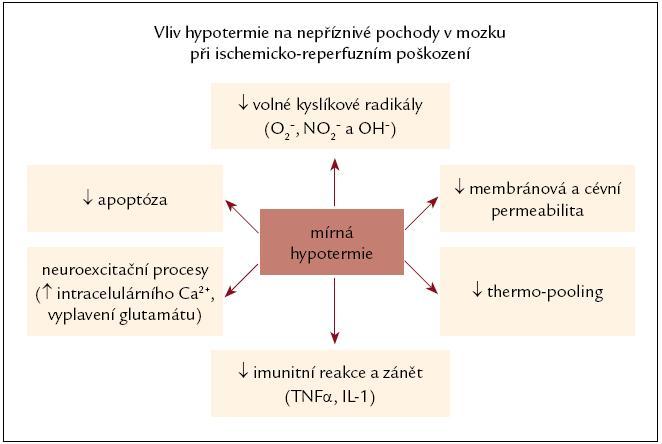 Obr. Schematicky zobrazený vliv hypotermie na nepříznivé pochody v mozku při ischemicko-repefuzním poškození. Hypotermie všechny uvedené procesy tlumí nebo zpomaluje.