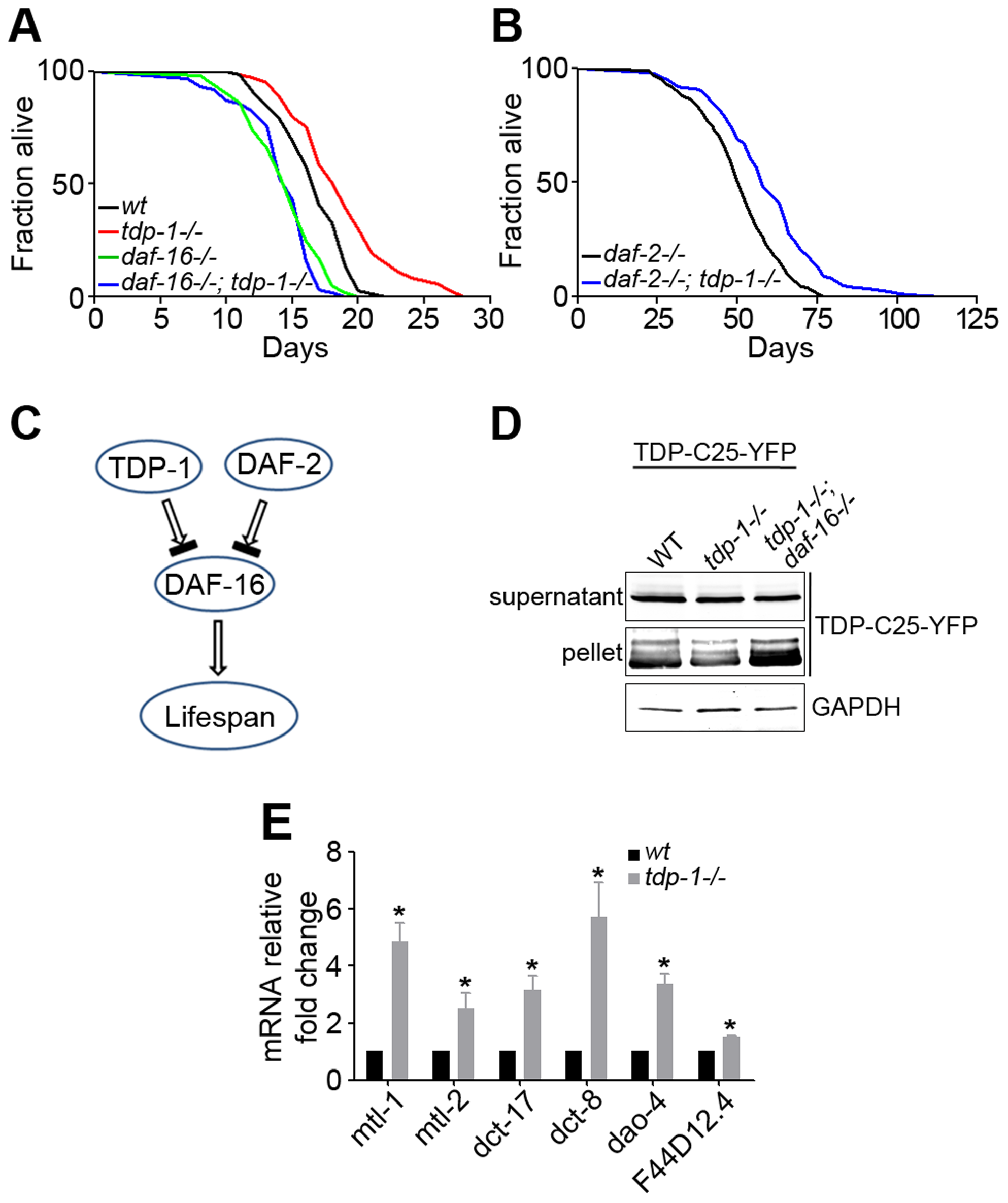 Loss of function of TDP-1 extends the lifespan and reduces protein aggregation in <i>C. elegans</i> in a DAF-16-dependent manner.