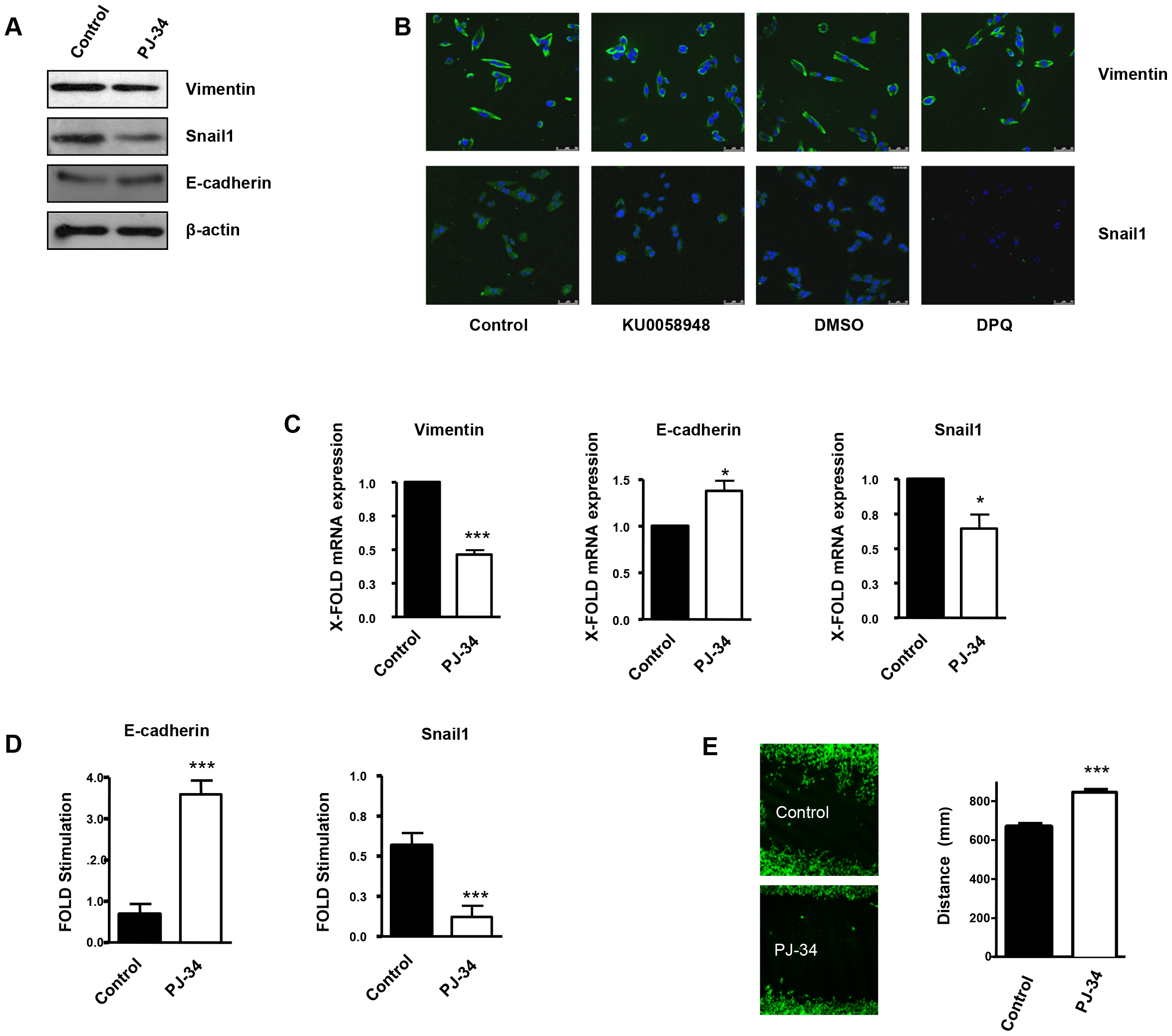 PARP inhibition inhibits the acquisition of an EMT phenotype in malignant melanoma cells.
