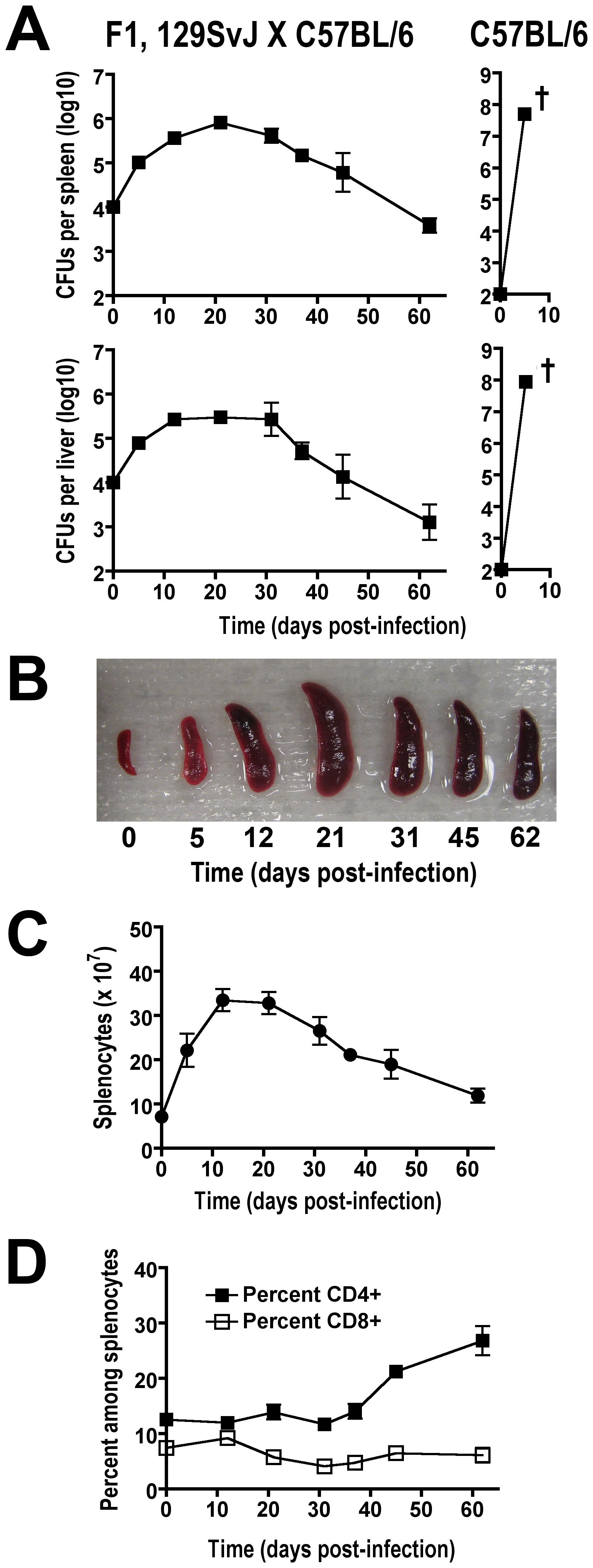 Tempo of persistent <i>Salmonella</i> infection in F1 129SvJ X C57BL/6 mice.