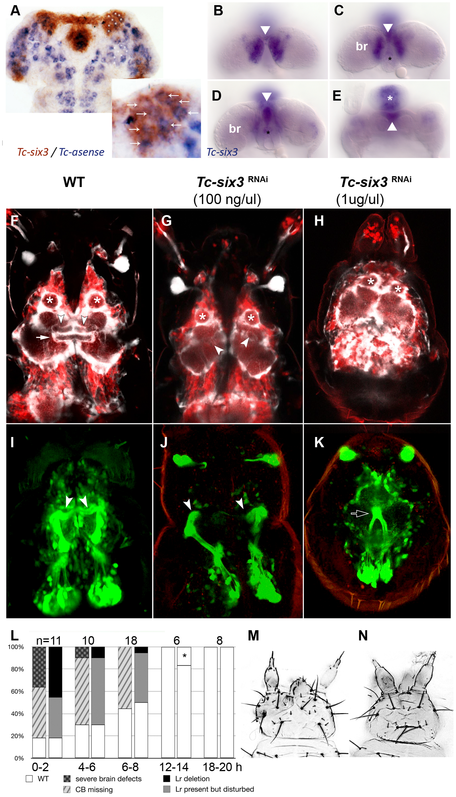 <i>Tc-six3</i> is required for central body development.