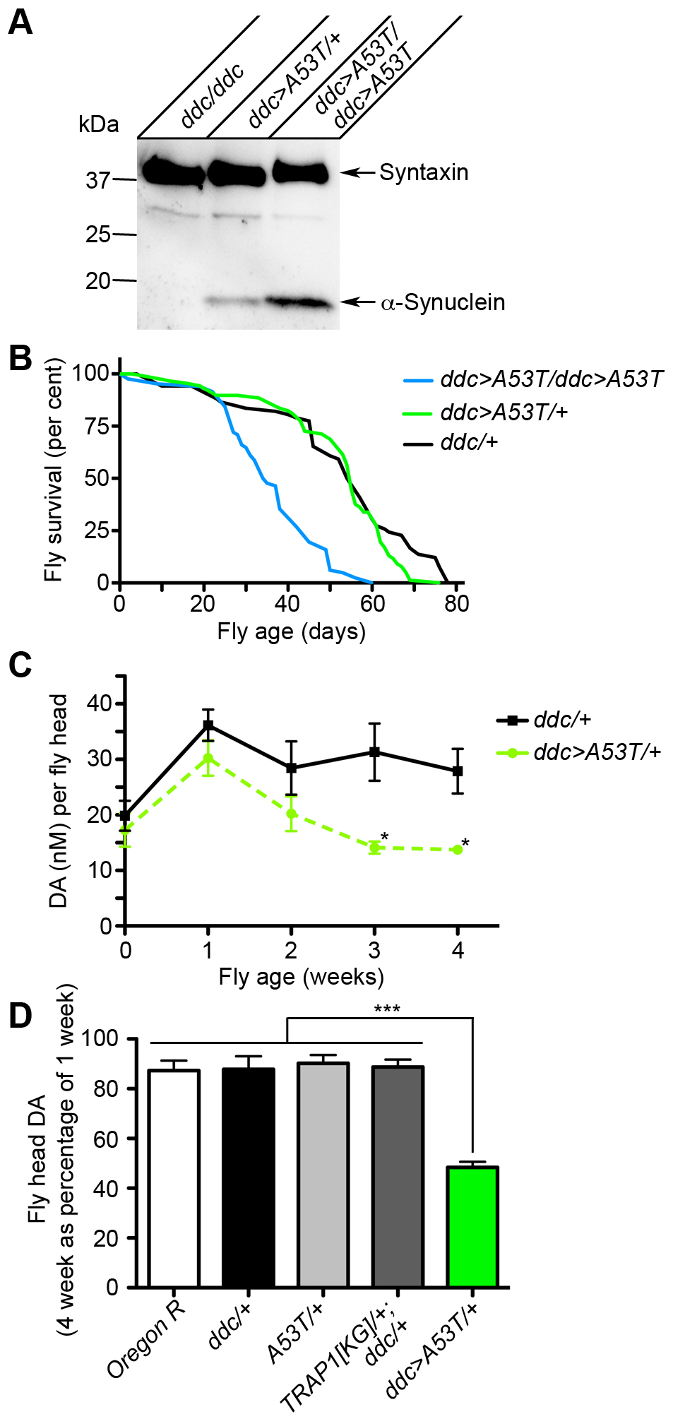 [A53T]α-Synuclein expression in fly heads results in age-dependent loss of DA.