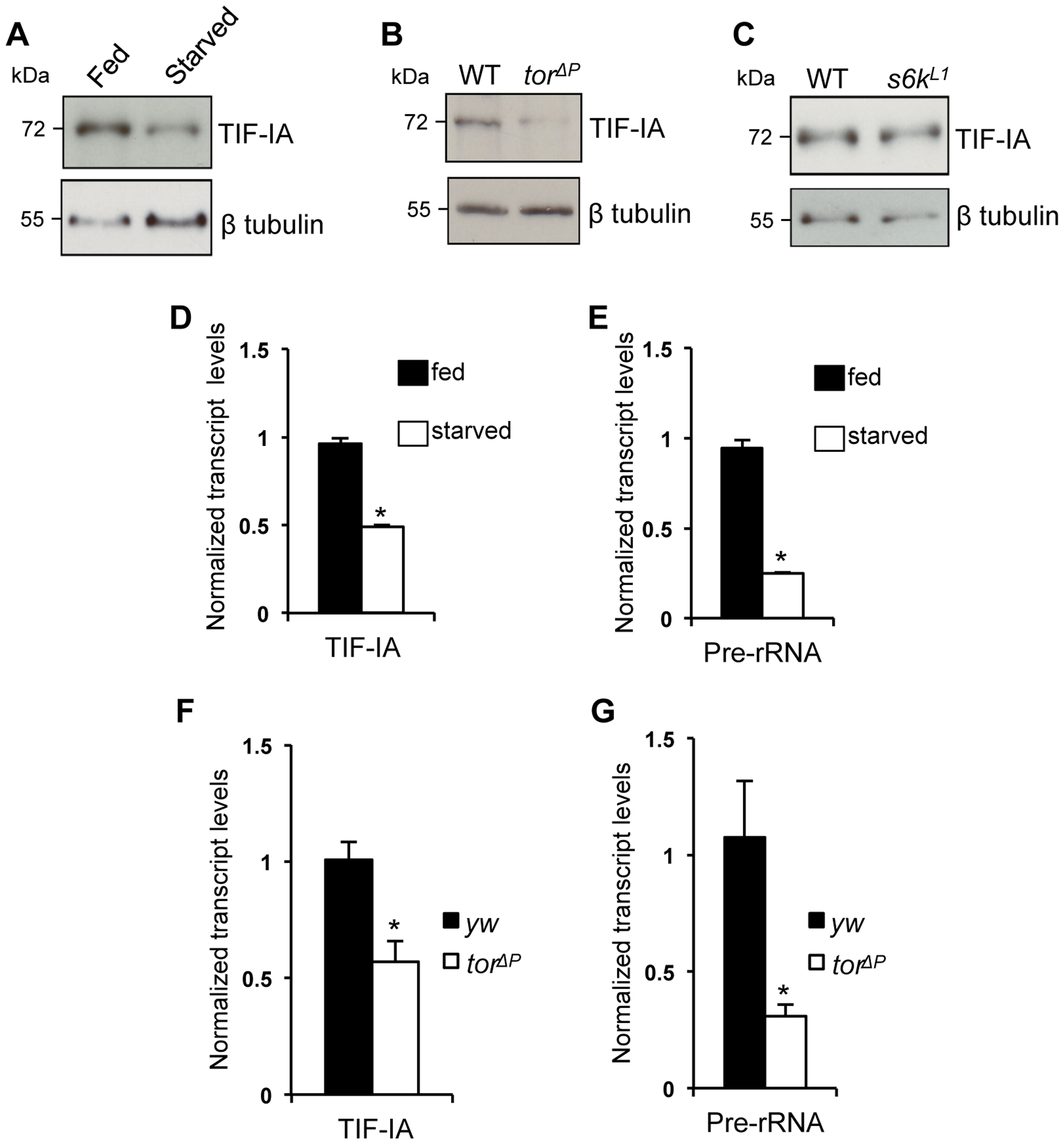 Nutrition-TOR signaling maintains TIF-IA mRNA and protein levels in larvae.
