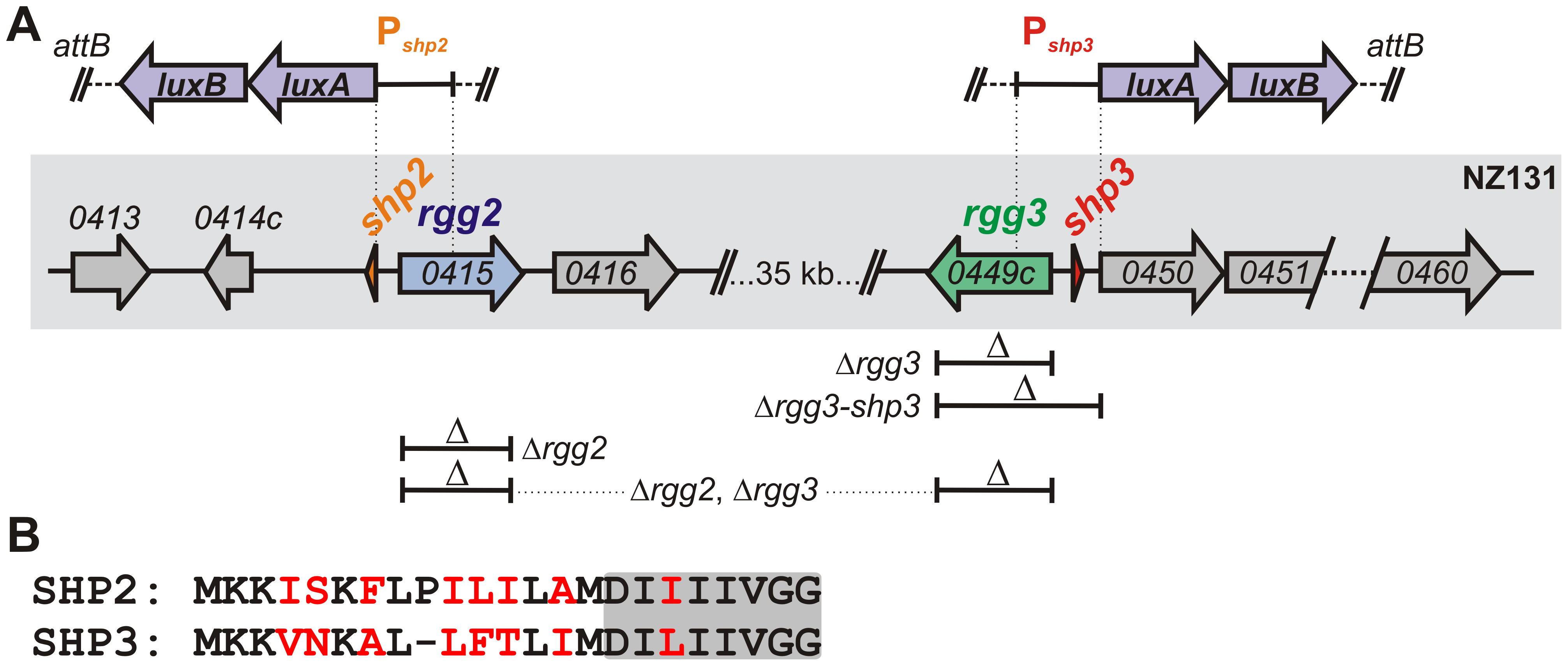 Rgg regulators in the <i>S. pyogenes</i> NZ131 genome.
