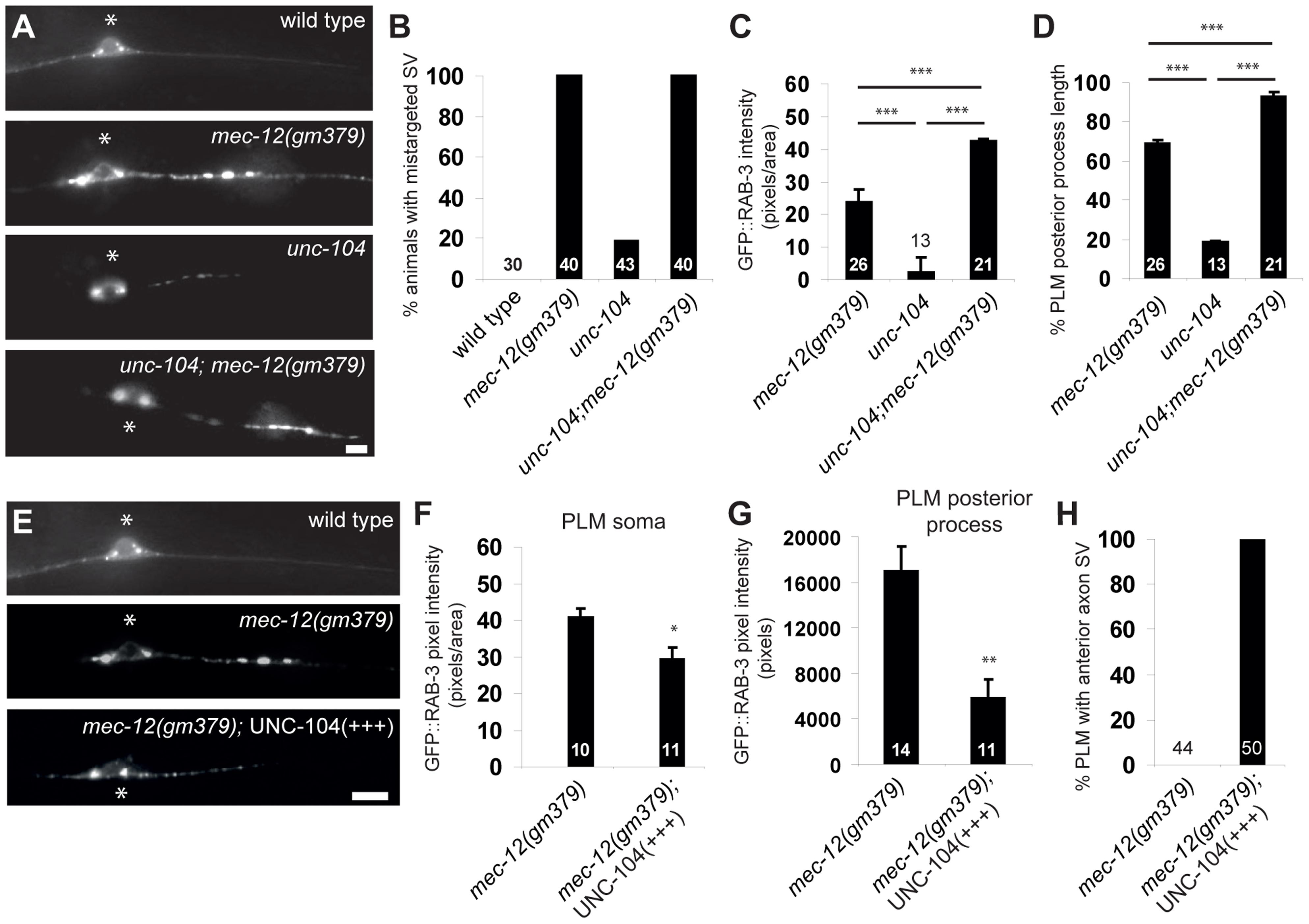 Genetic interaction between <i>mec-12(gm379)</i> and <i>unc-104</i>.