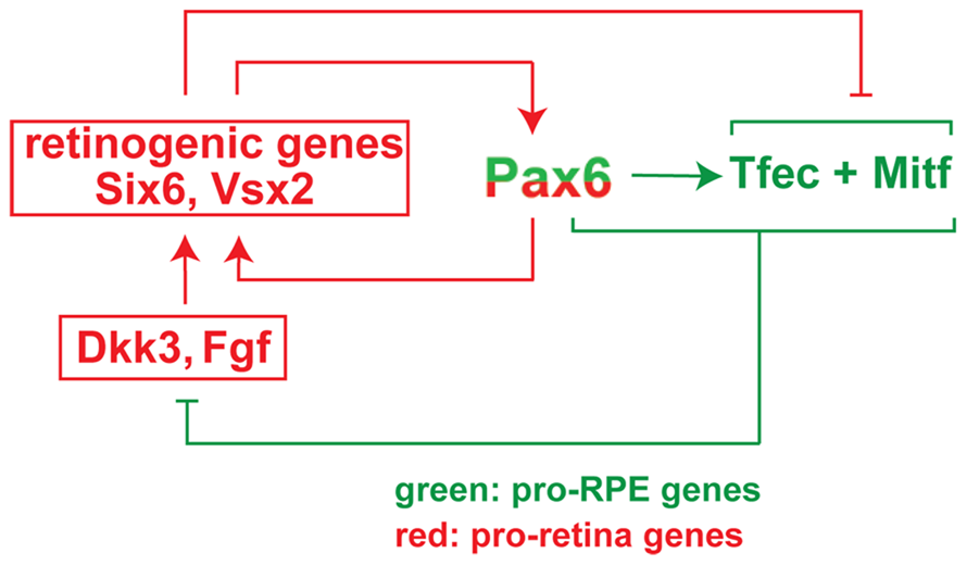 Model of the regulatory circuit involving <i>Pax6</i>, <i>Mitf</i>, and <i>Tcfec</i> during mouse RPE development.