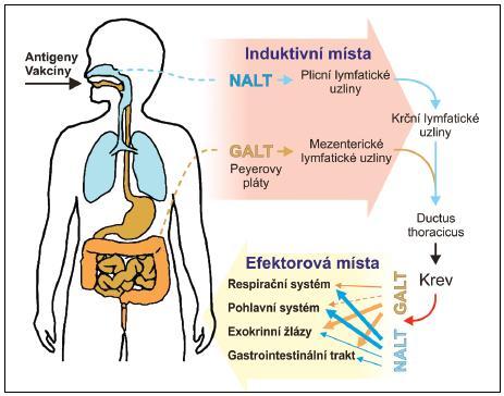 Induktivní a efektorová místa slizničního imunitního sytému GALT – lymfatická tkáň asociovaná se střevem, NALT – lymfatická tkáň asociovaná s nosní sliznicí