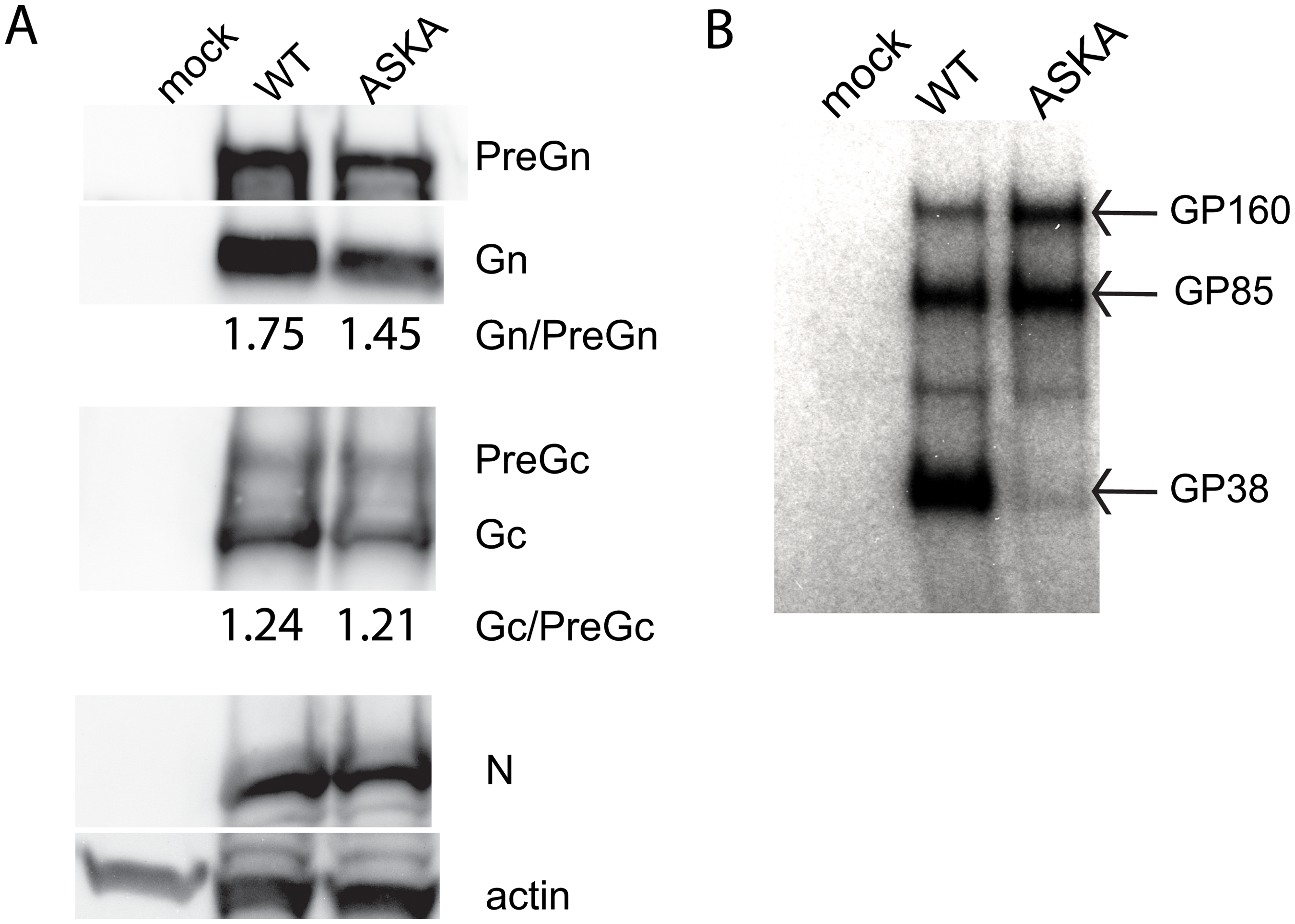 Effects of blocking furin cleavage on CCHFV glycoprotein maturation.
