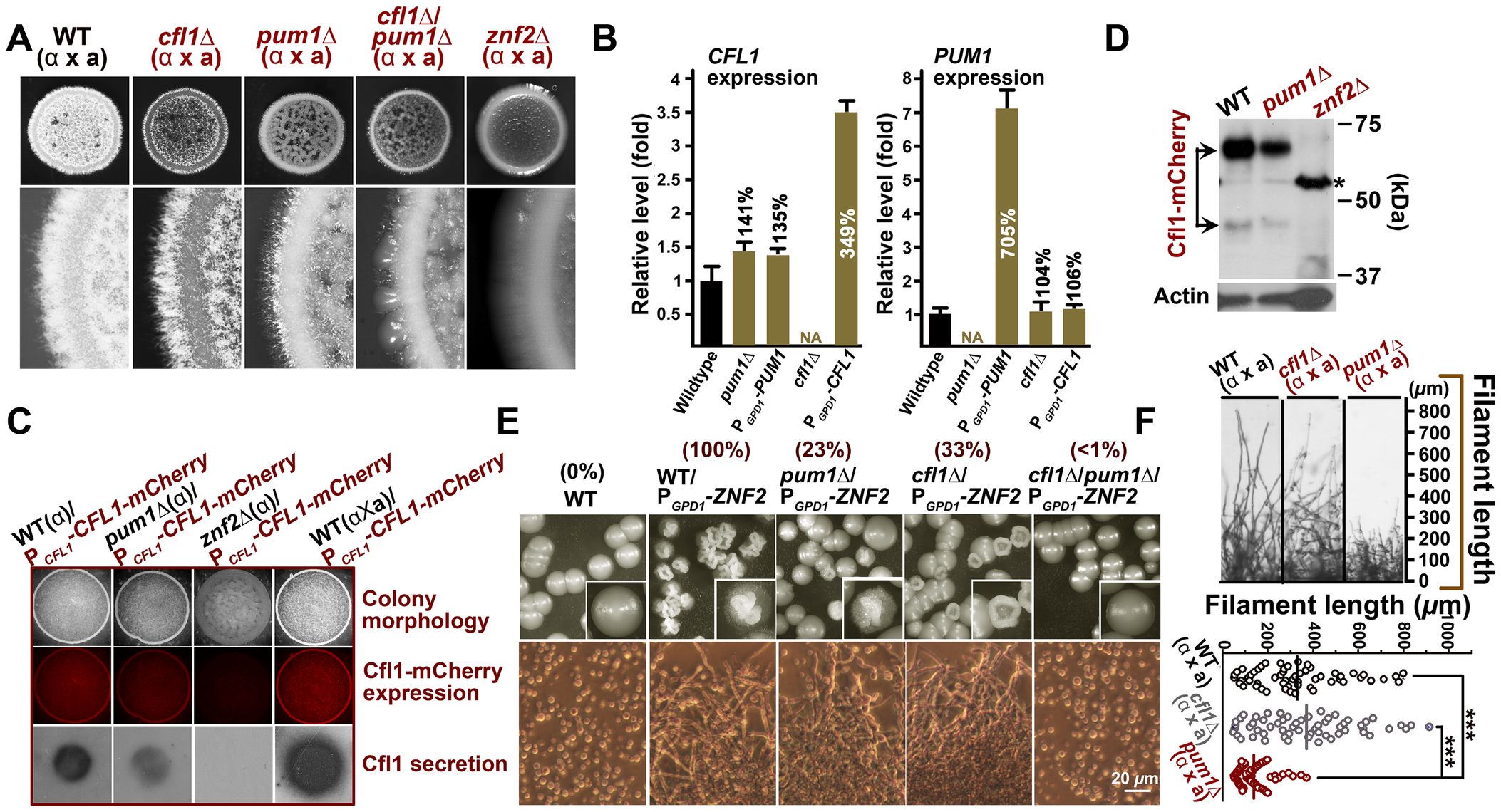 Cfl1 and Pum1 represent two major circuits downstream of Znf2 in directing aerial hyphae formation.