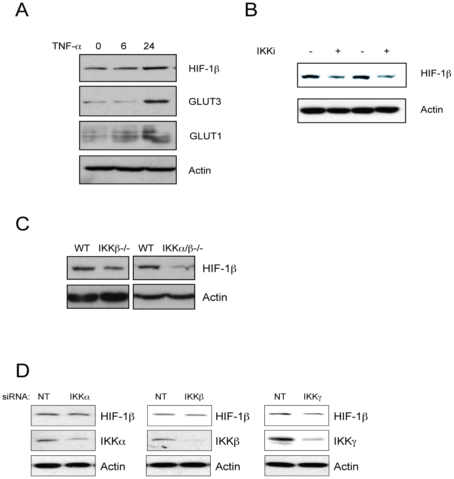 NF-κB–mediated control of the HIF system is conserved in mice.