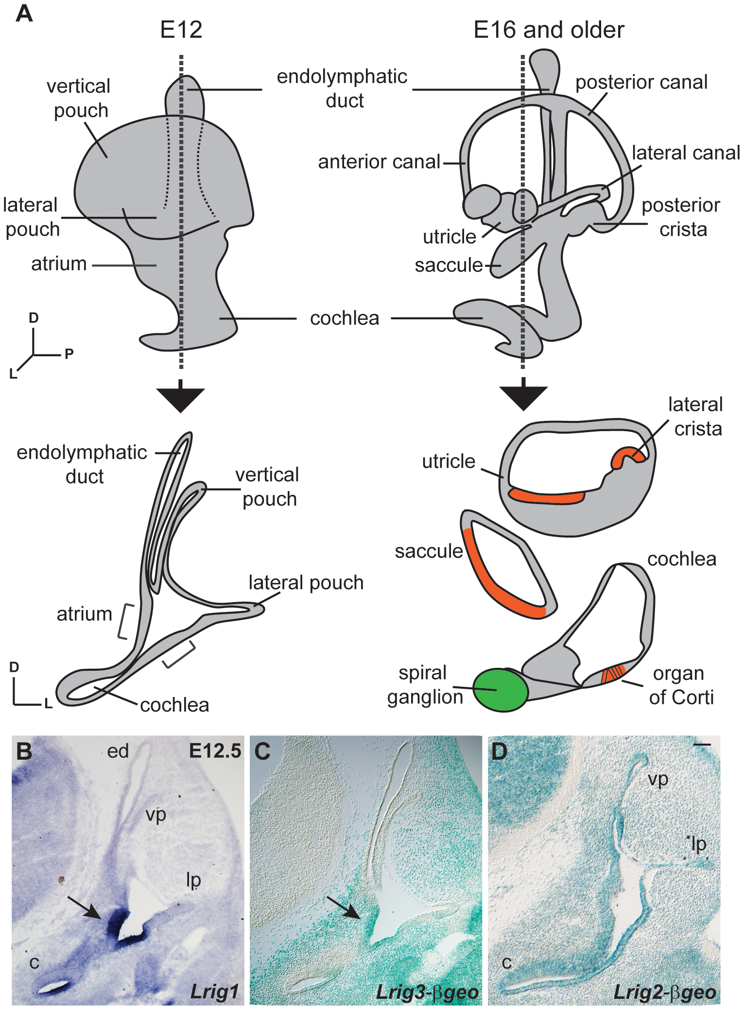 Lrigs are co-expressed in the embryonic inner ear.
