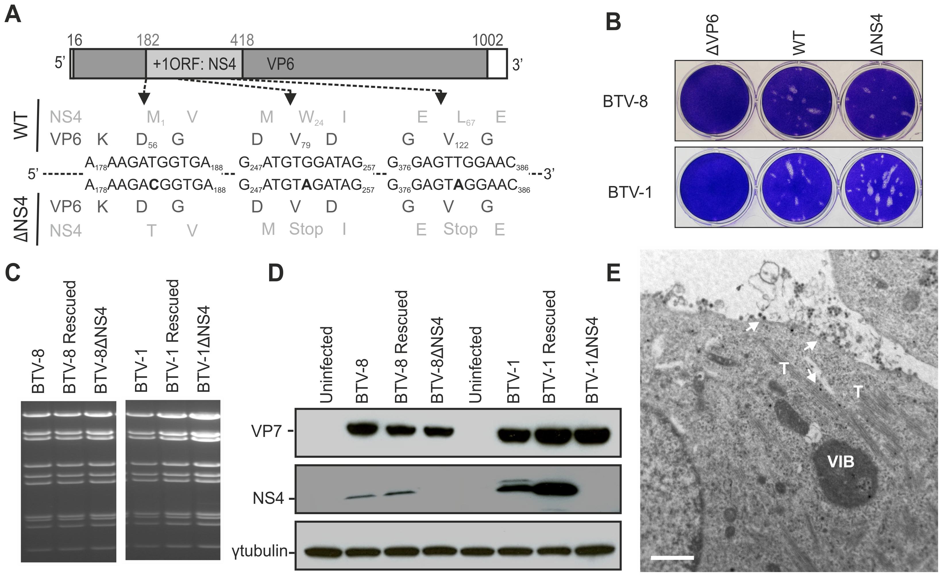 Generation of ΔNS4 Bluetongue viruses by reverse genetics.